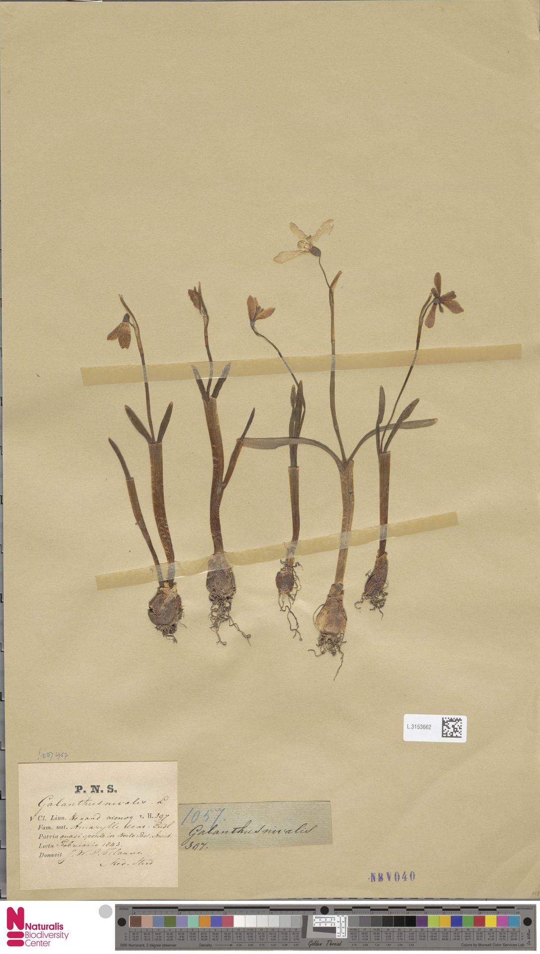 L.3153662 | Galanthus nivalis L.