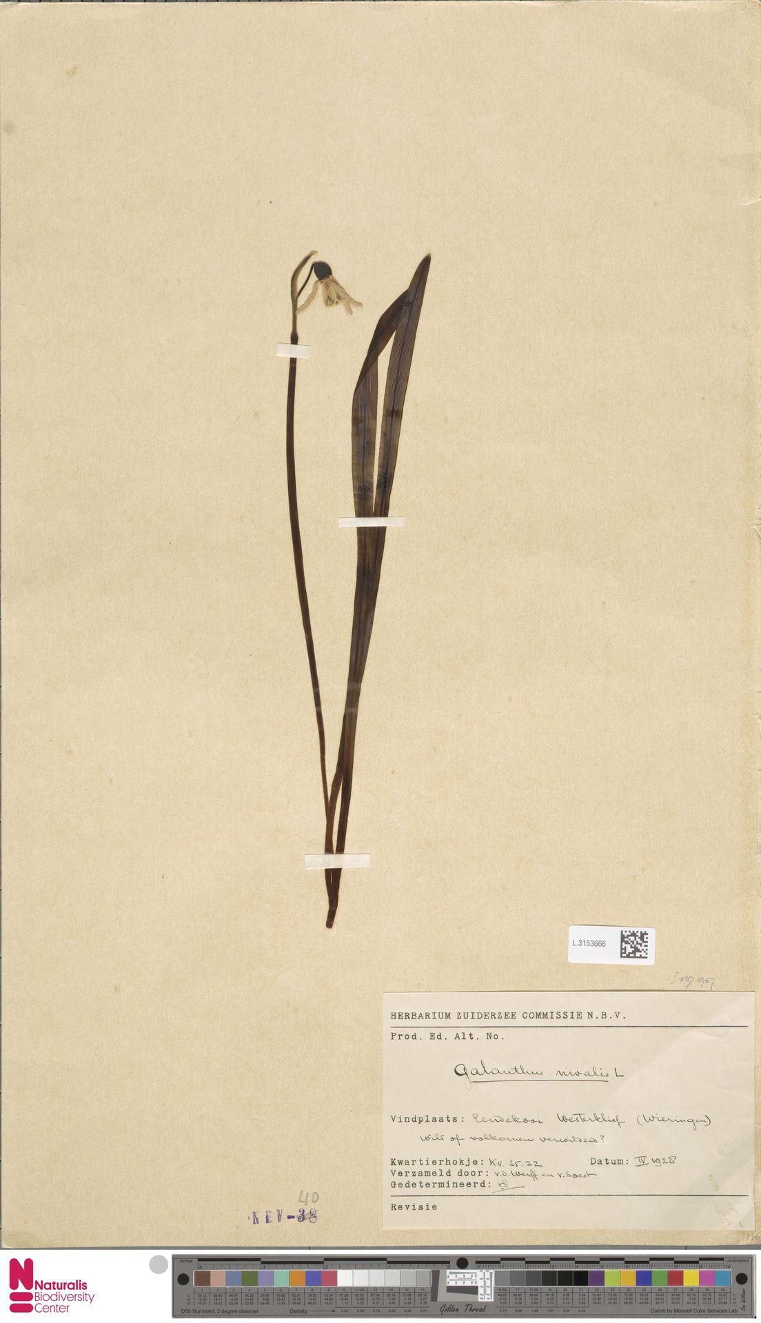 L.3153666 | Galanthus nivalis L.