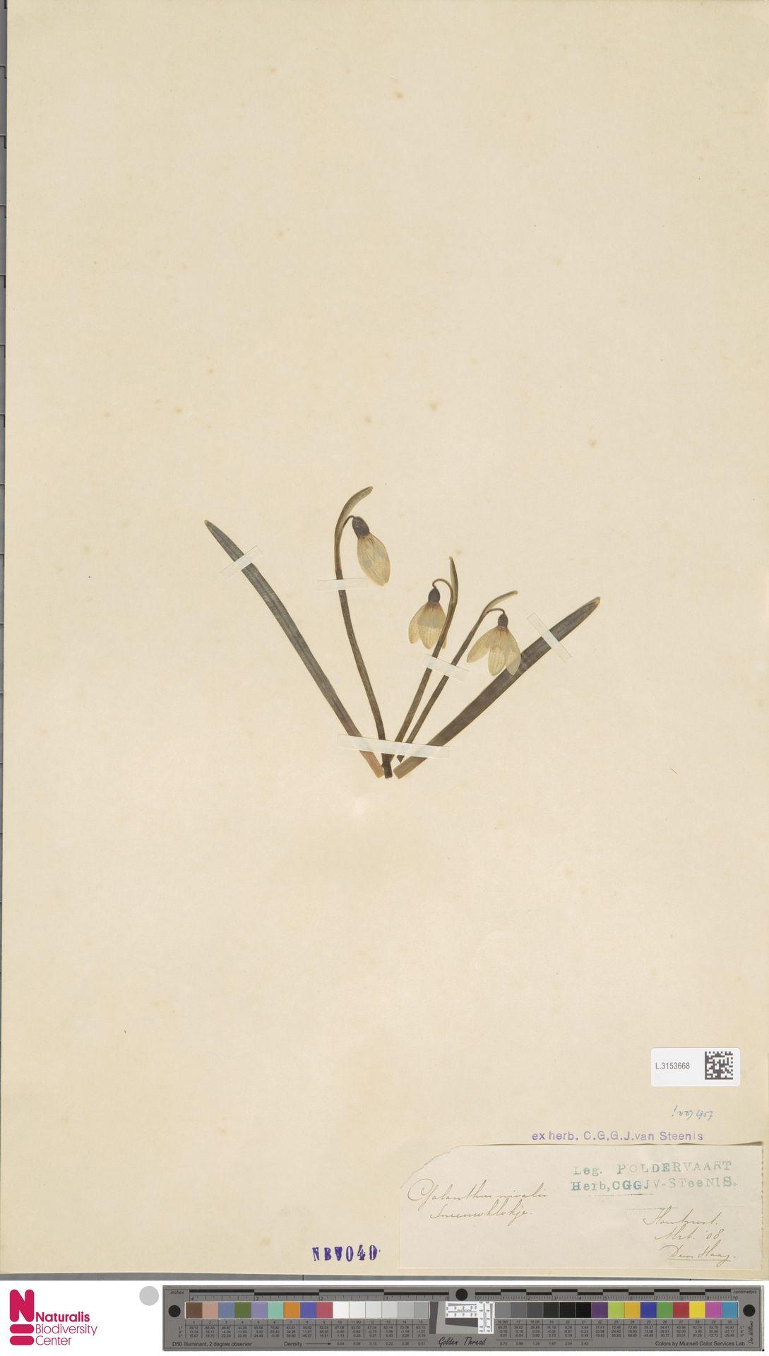 L.3153668 | Galanthus nivalis L.