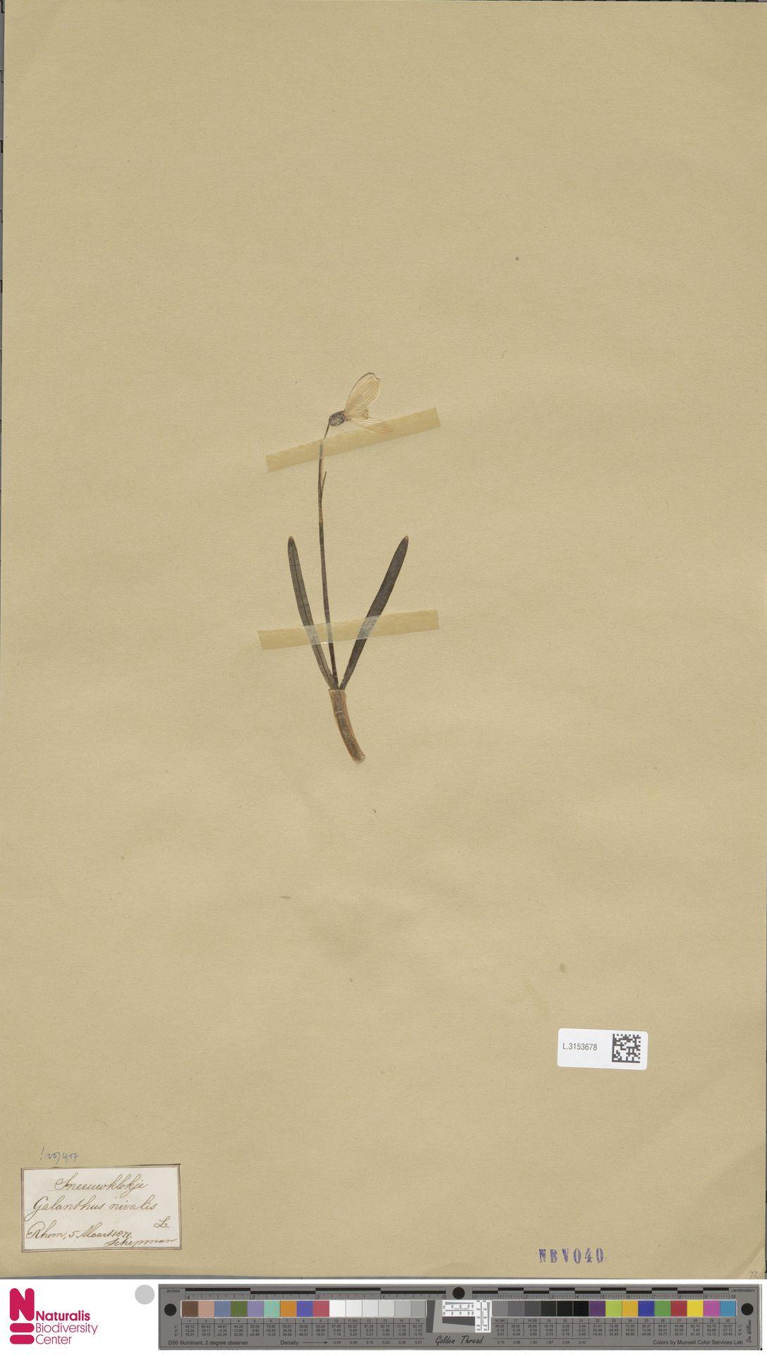 L.3153678 | Galanthus nivalis L.