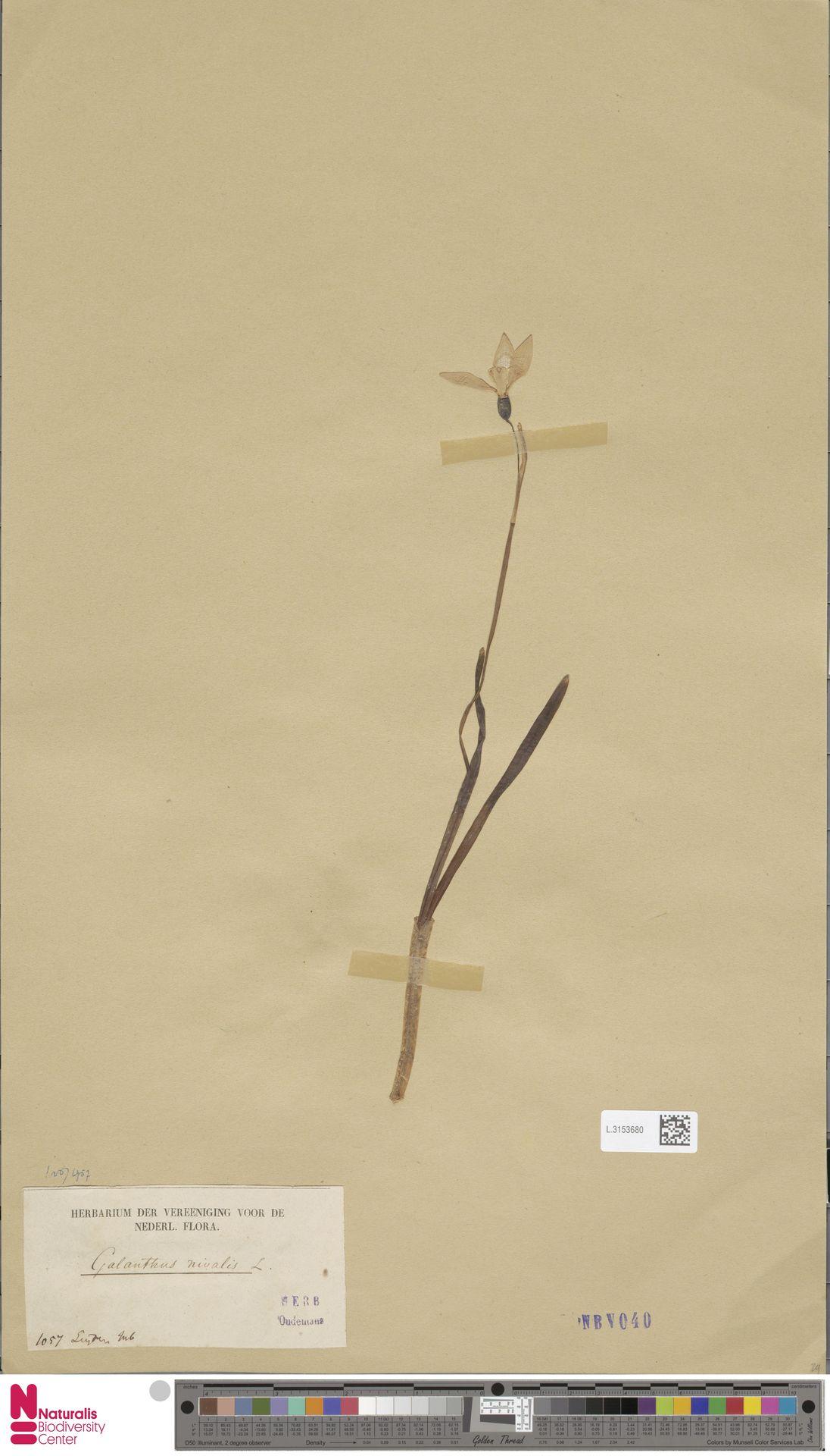 L.3153680   Galanthus nivalis L.