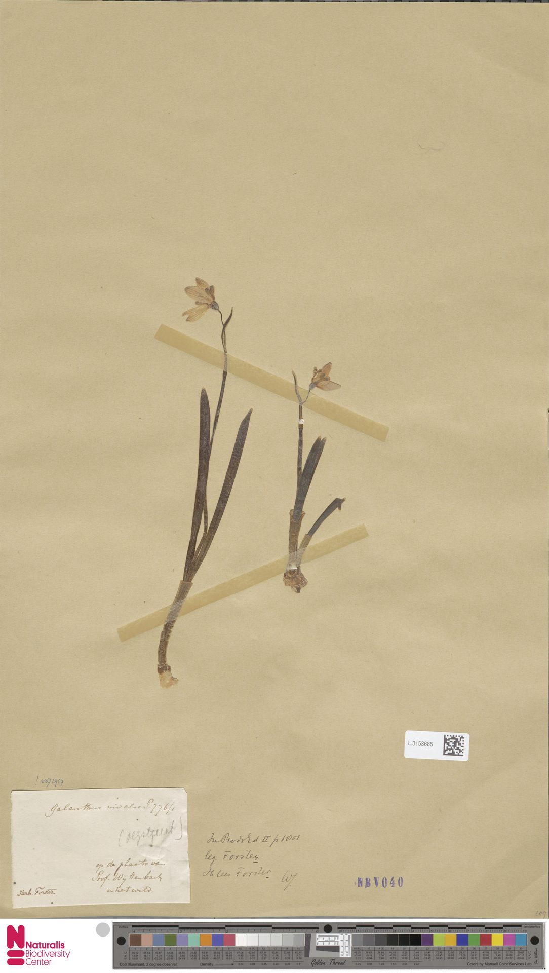 L.3153685 | Galanthus nivalis L.