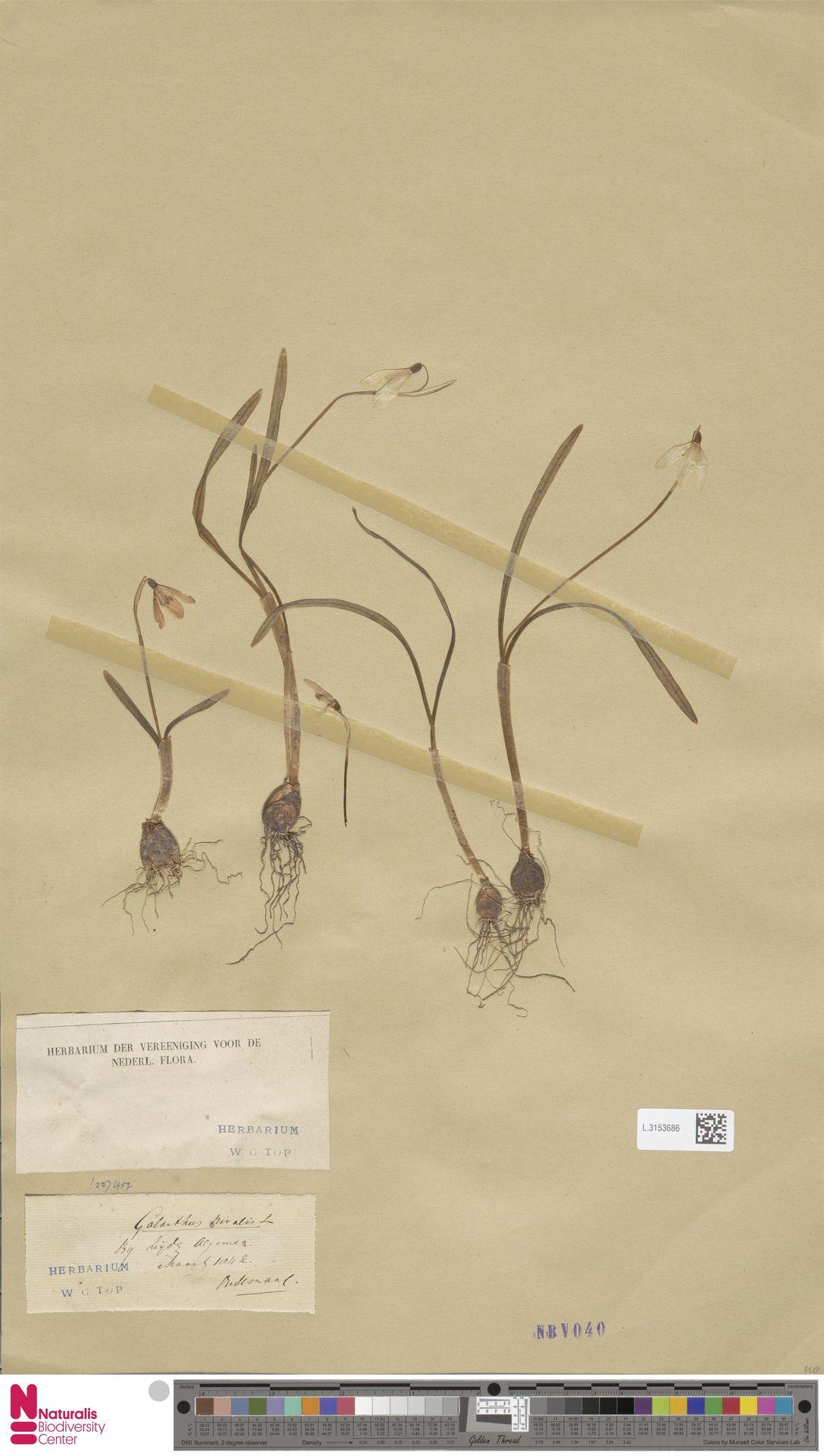 L.3153686 | Galanthus nivalis L.