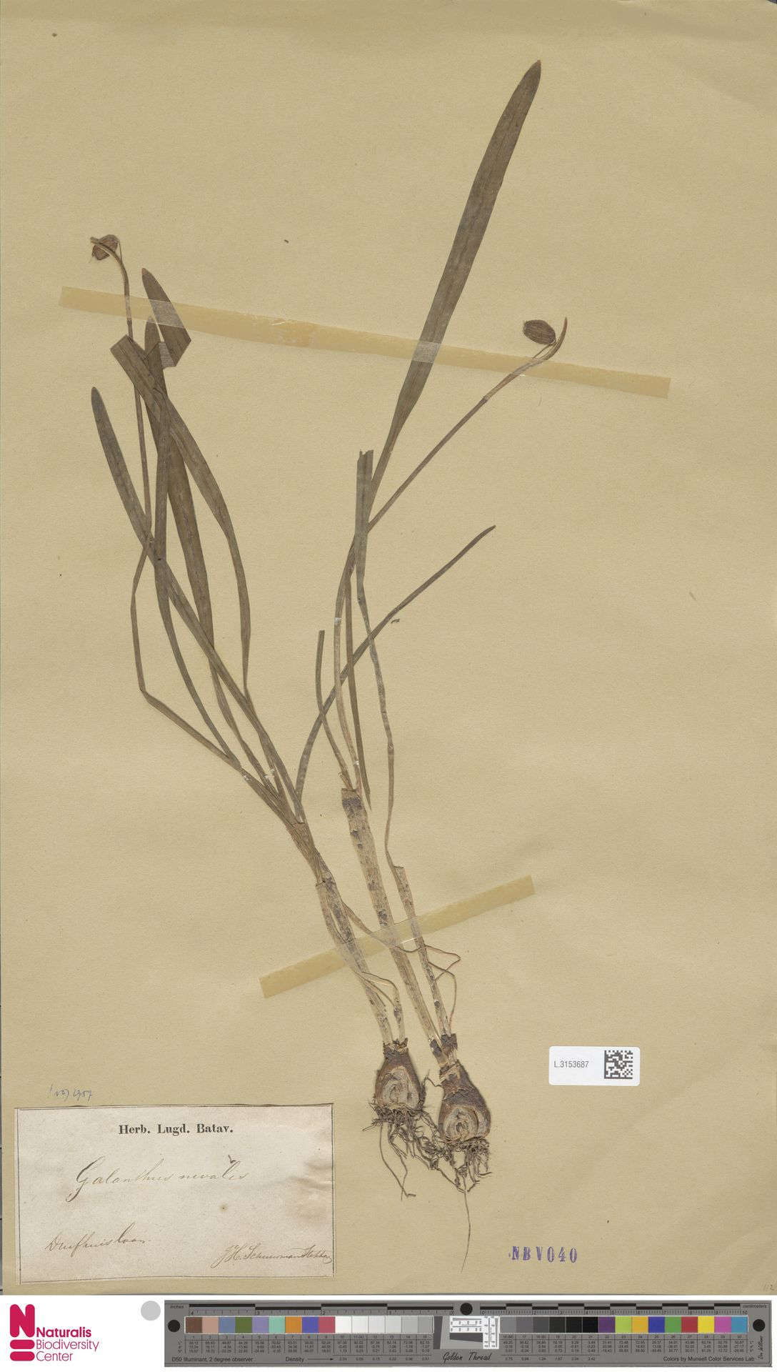 L.3153687 | Galanthus nivalis L.