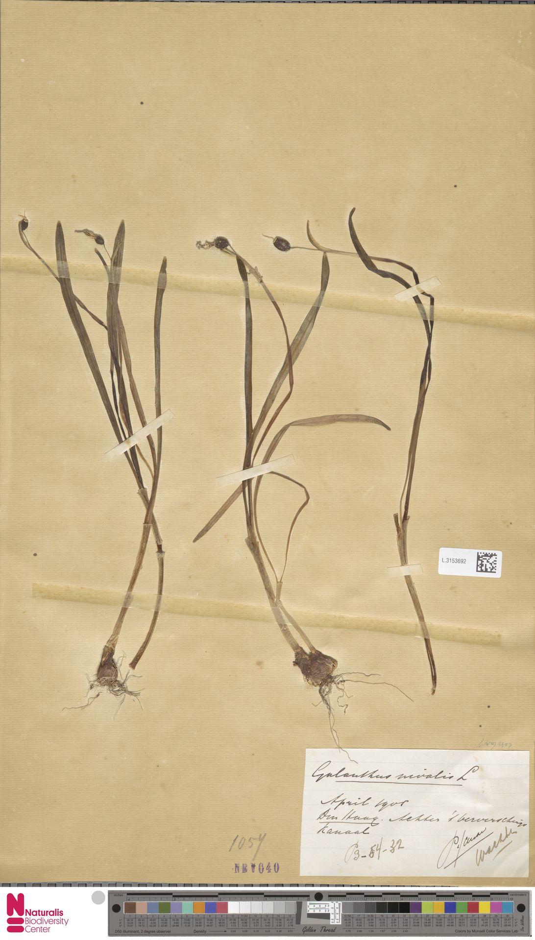 L.3153692 | Galanthus nivalis L.