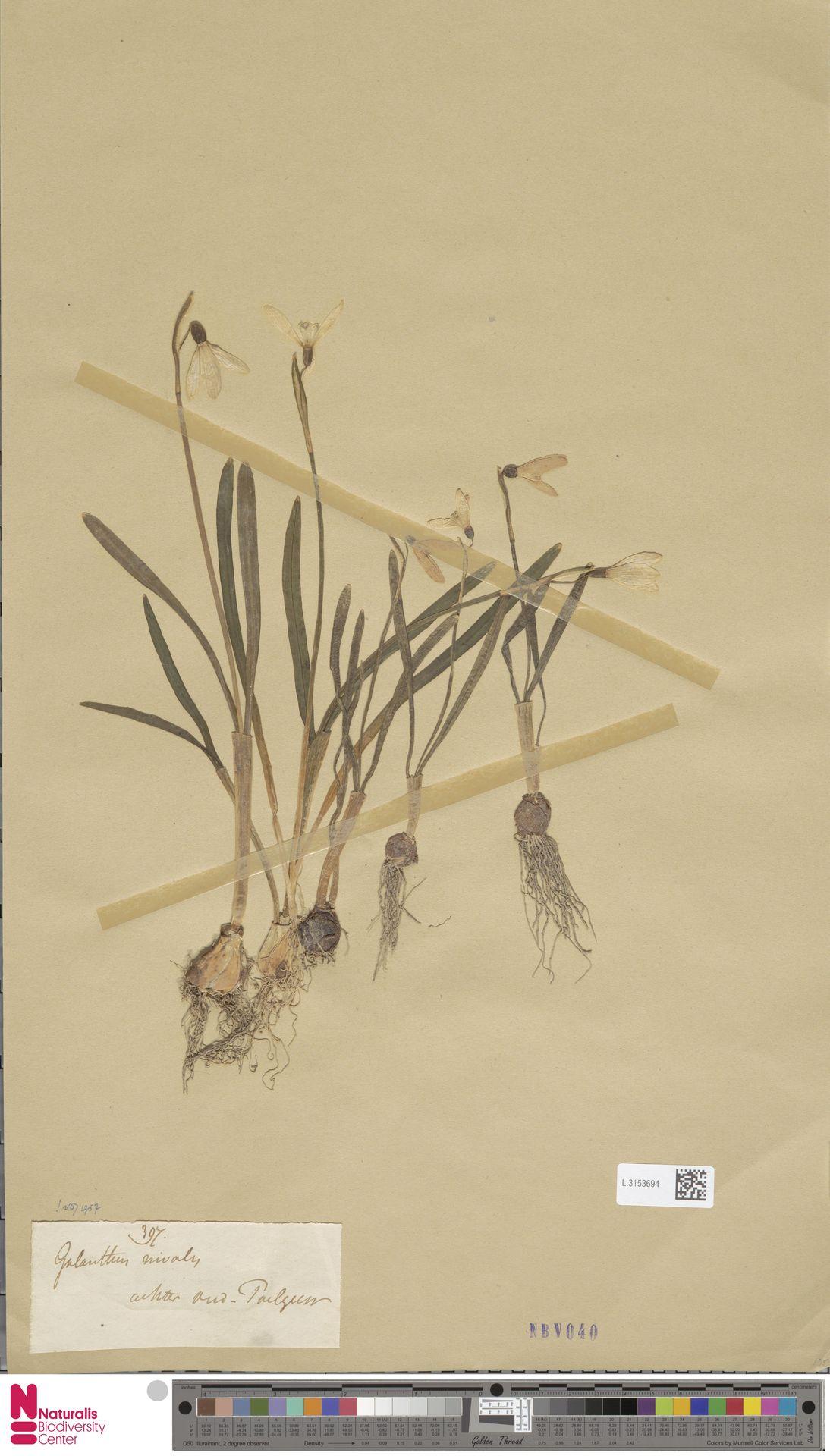 L.3153694 | Galanthus nivalis L.
