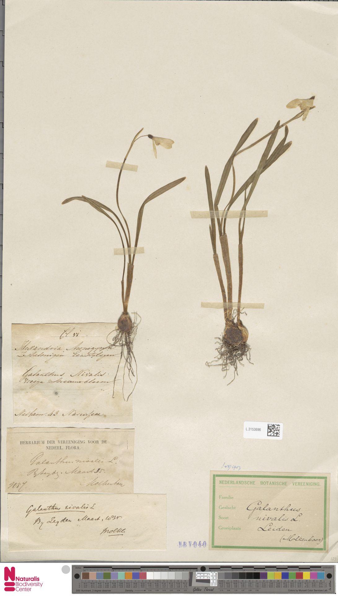 L.3153696 | Galanthus nivalis L.