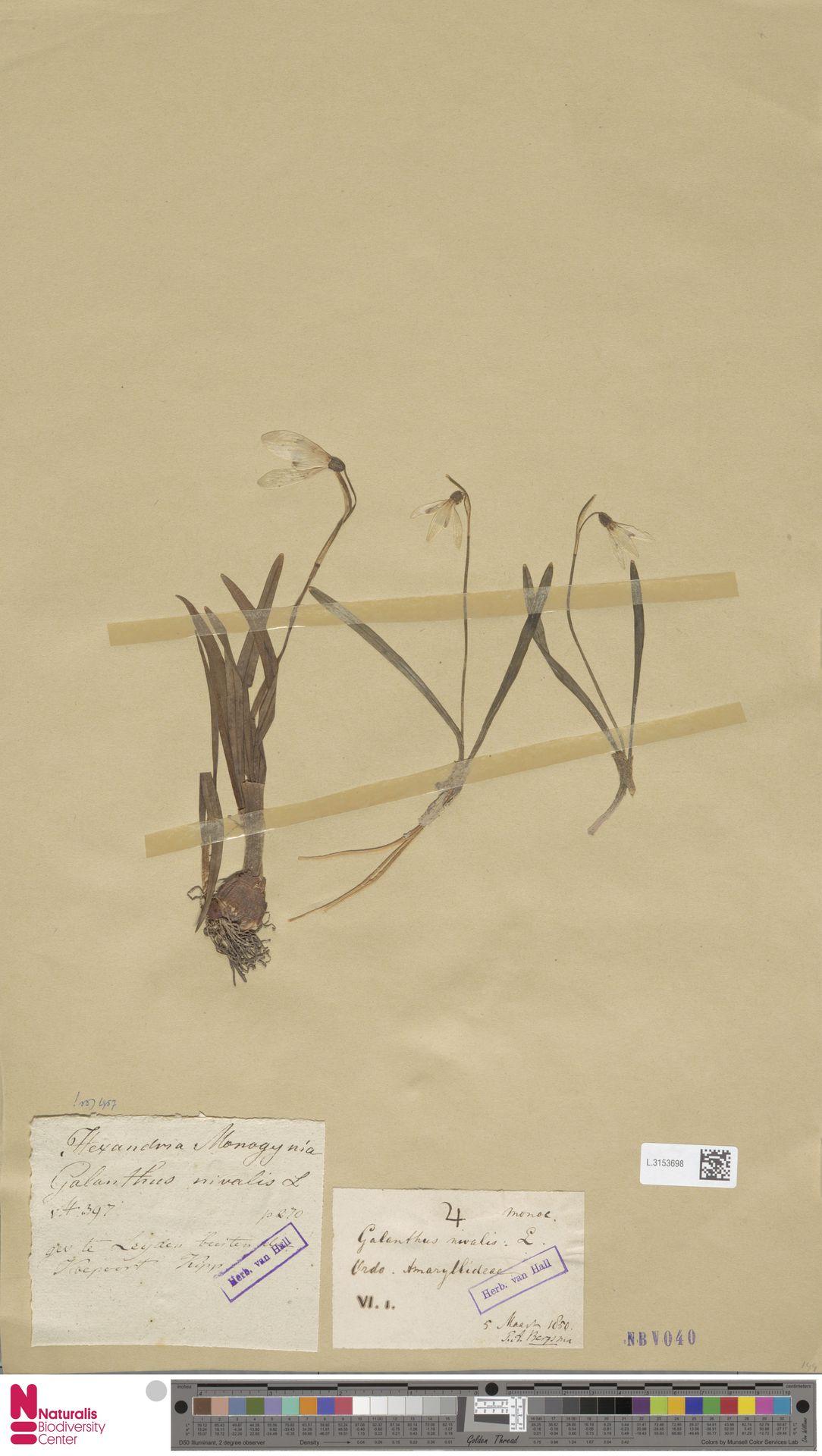 L.3153698 | Galanthus nivalis L.
