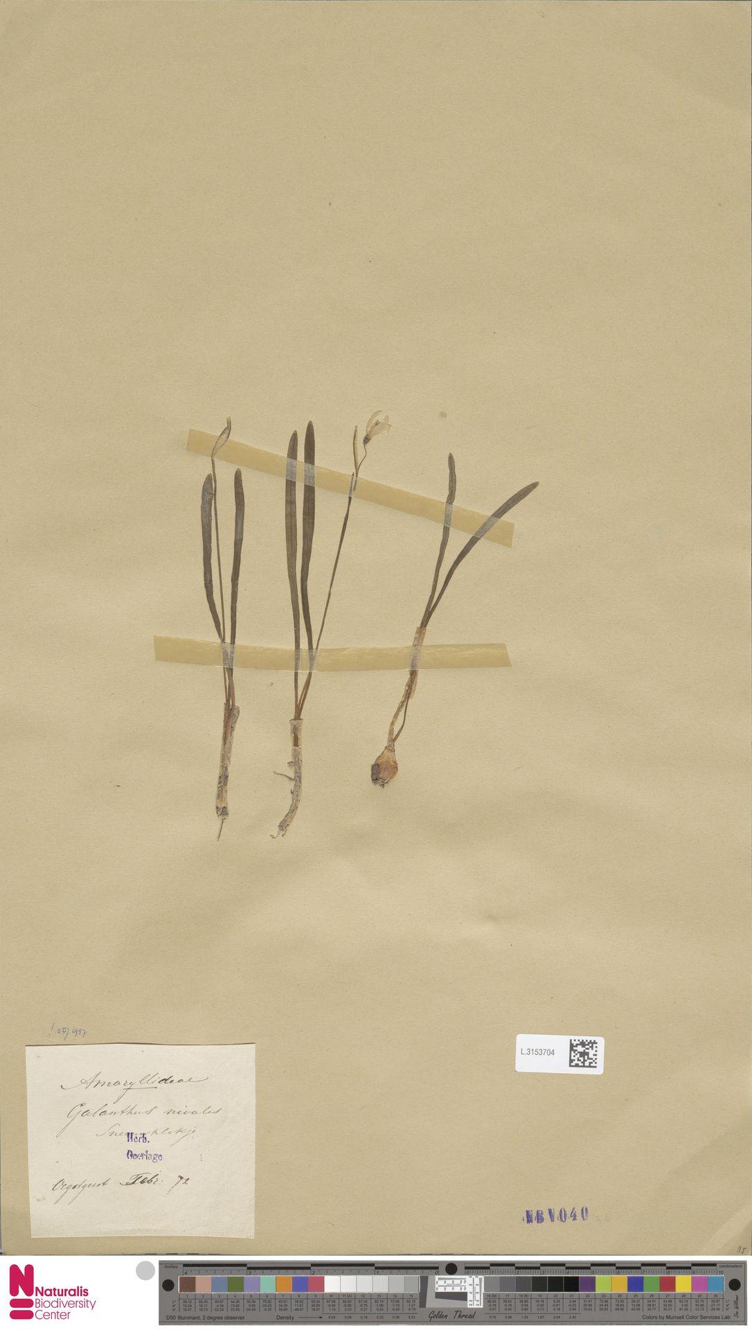 L.3153704 | Galanthus nivalis L.