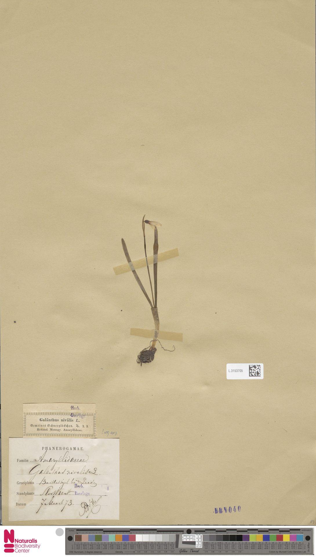 L.3153705 | Galanthus nivalis L.