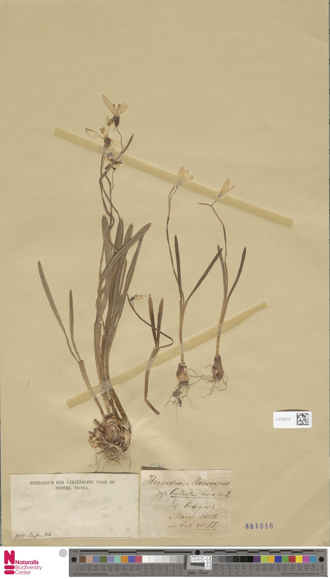 L.3153710 | Galanthus nivalis L.