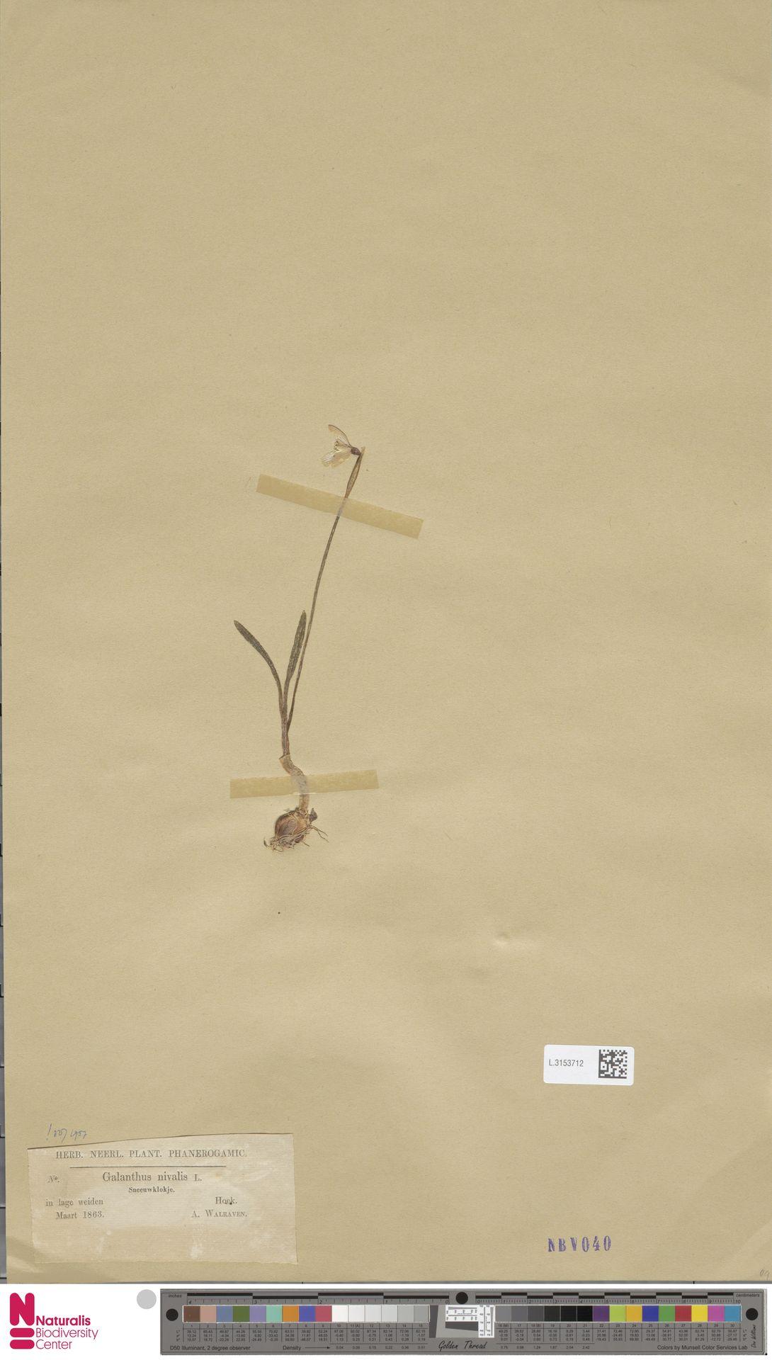 L.3153712 | Galanthus nivalis L.