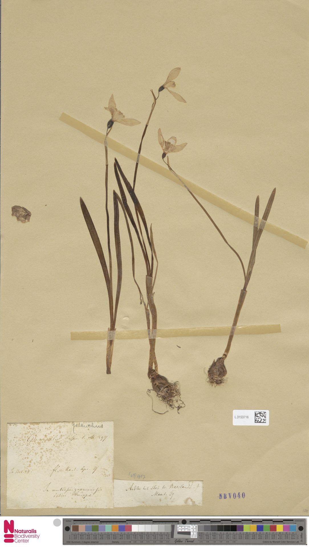 L.3153716 | Galanthus nivalis L.