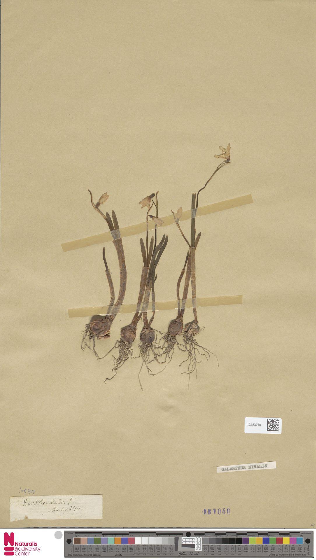 L.3153718 | Galanthus nivalis L.
