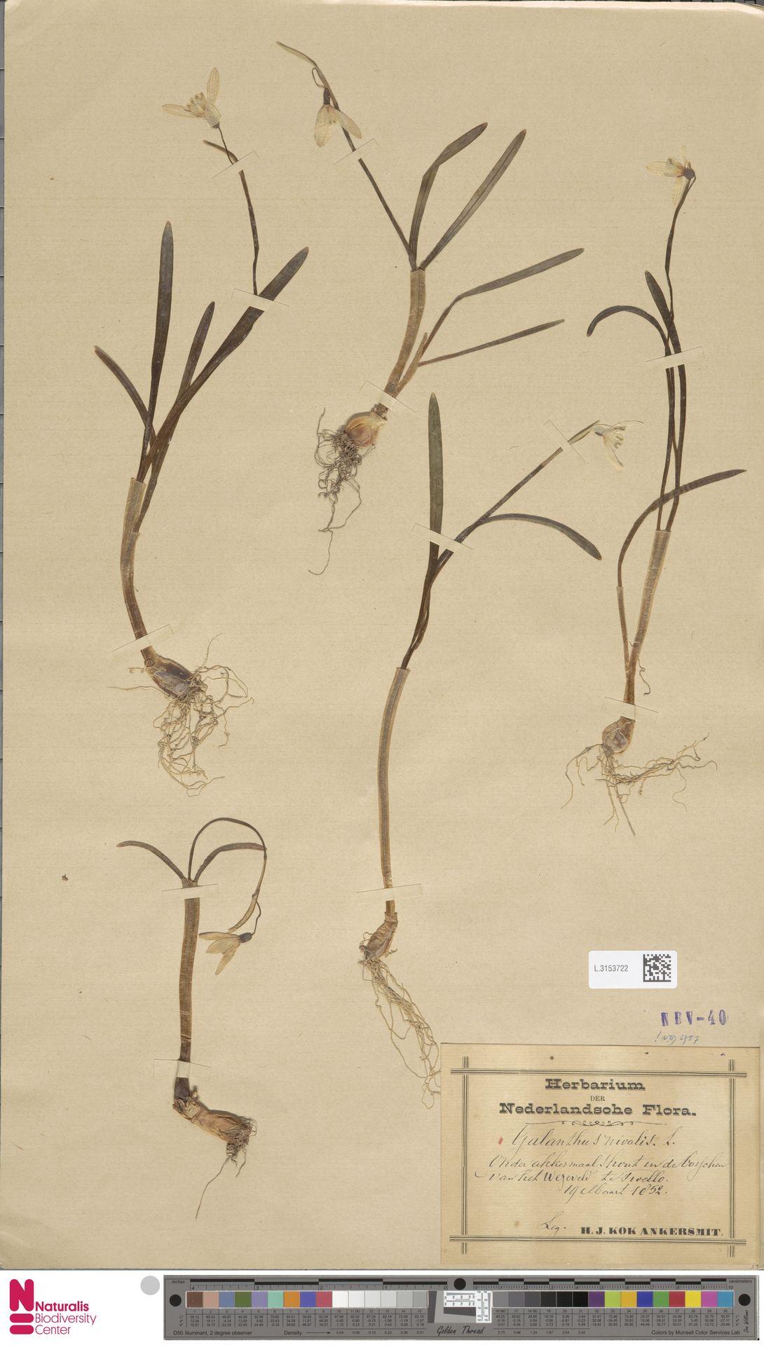 L.3153722   Galanthus nivalis L.