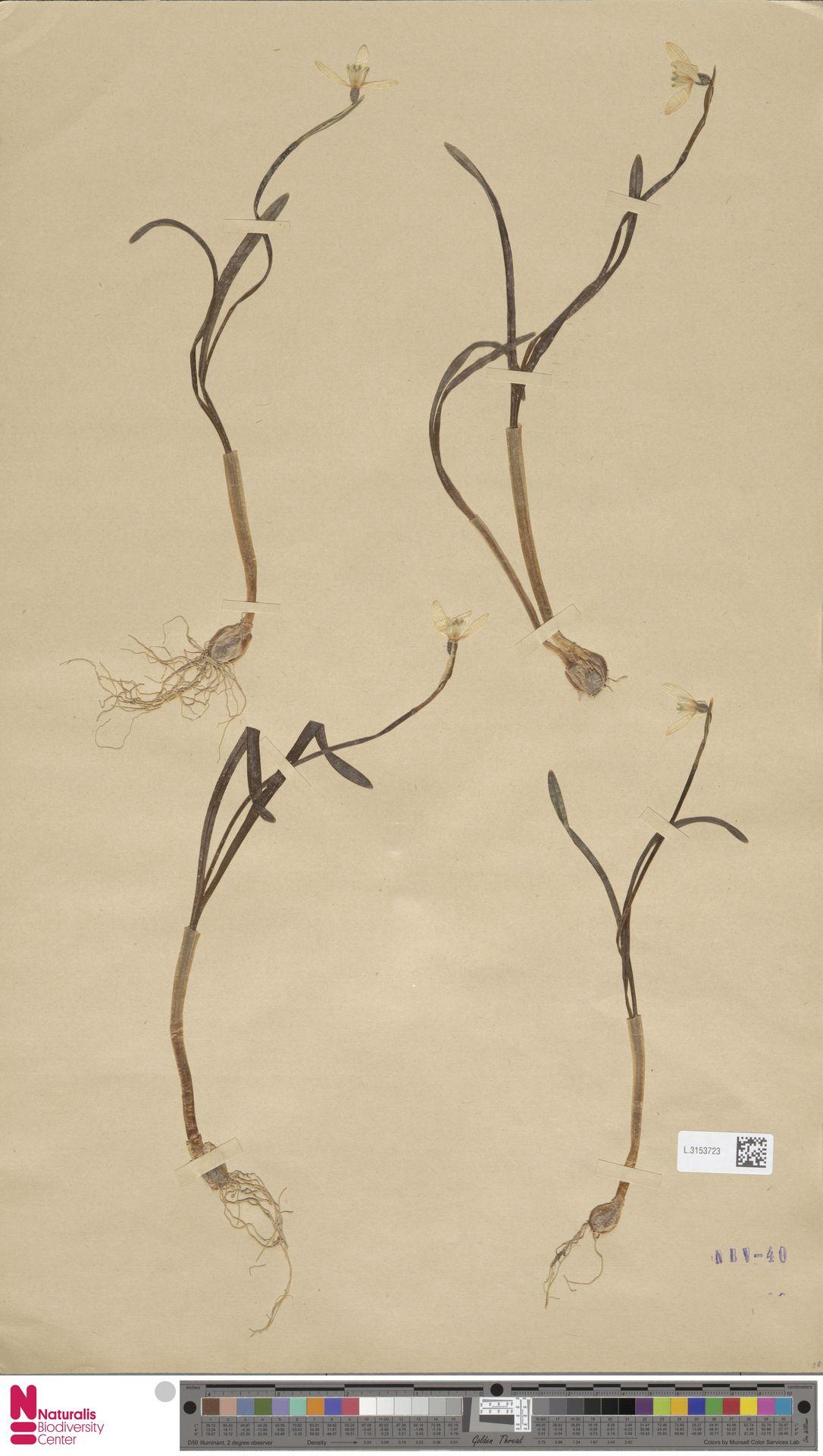L.3153723 | Galanthus nivalis L.