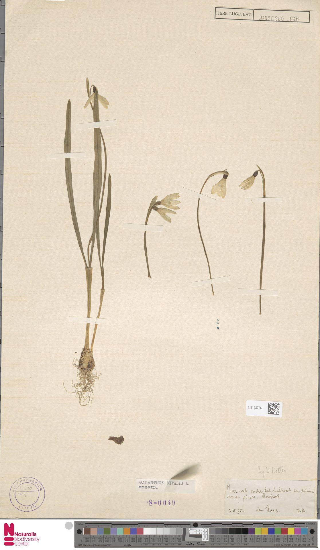 L.3153726 | Galanthus nivalis var. ssp.