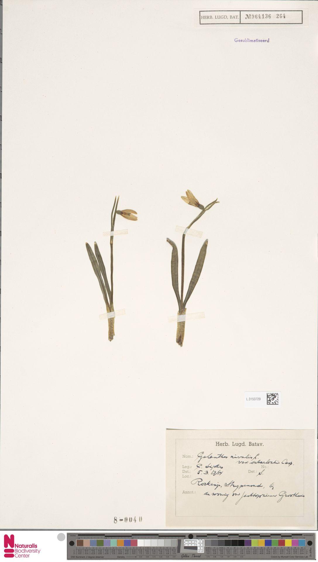 L.3153729 | Galanthus nivalis var. ssp.