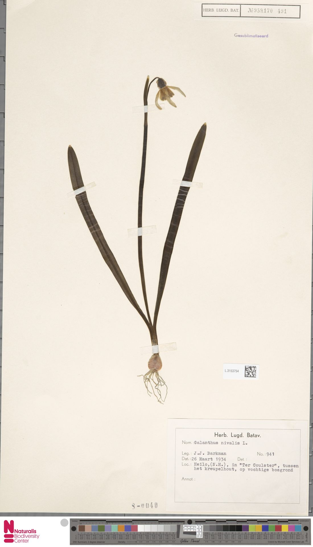 L.3153754 | Galanthus nivalis L.