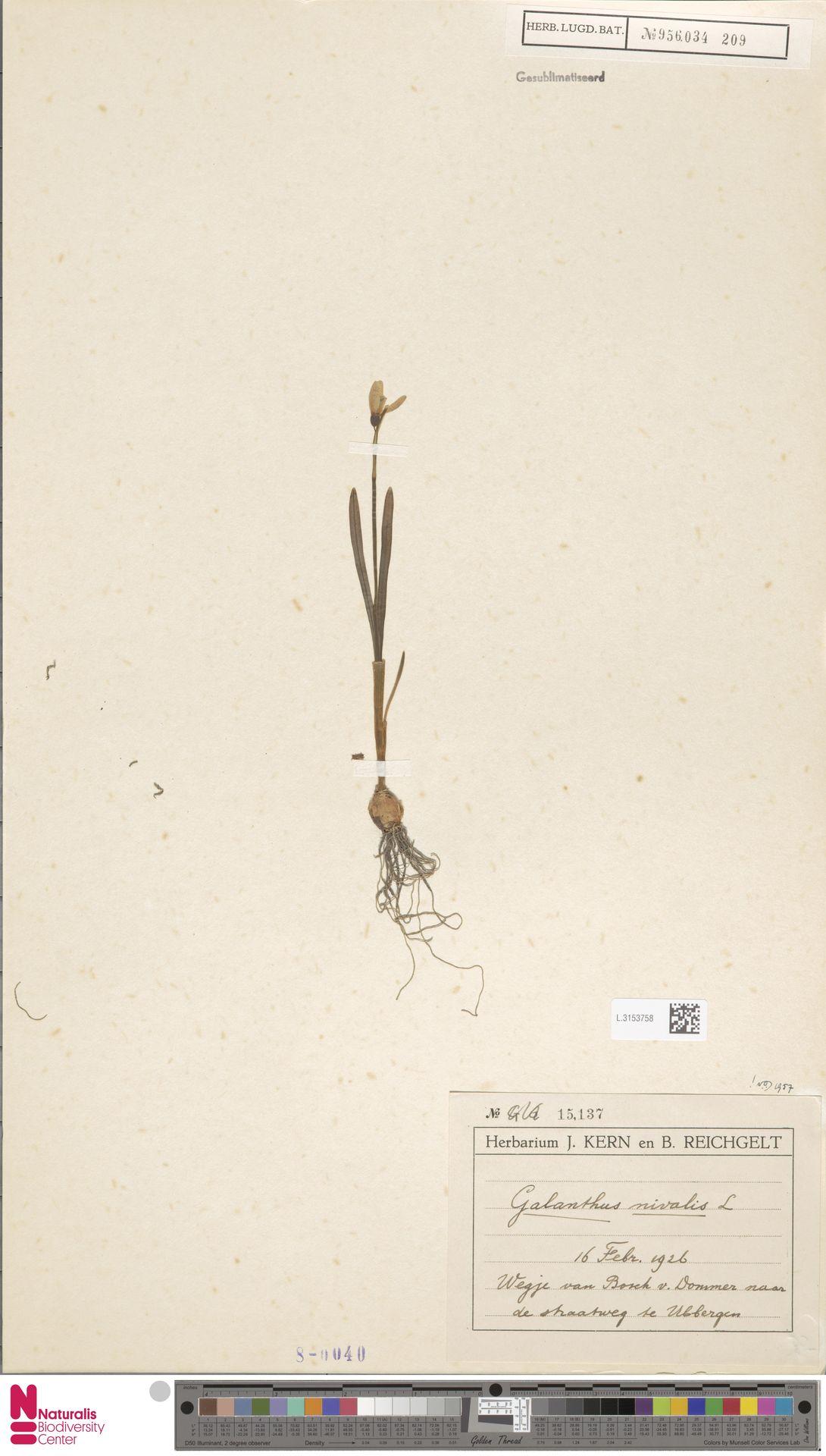 L.3153758   Galanthus nivalis L.