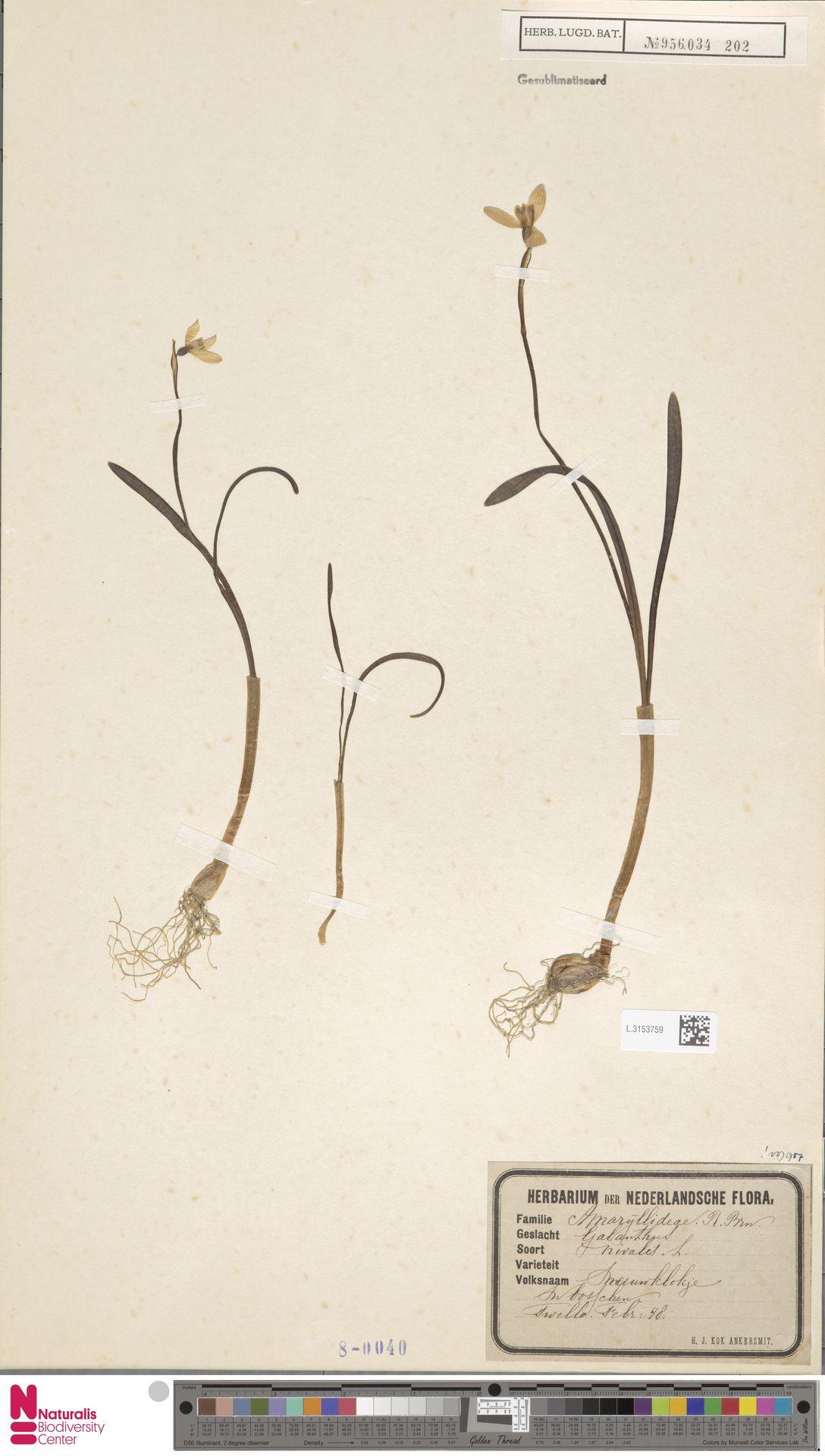 L.3153759   Galanthus nivalis L.