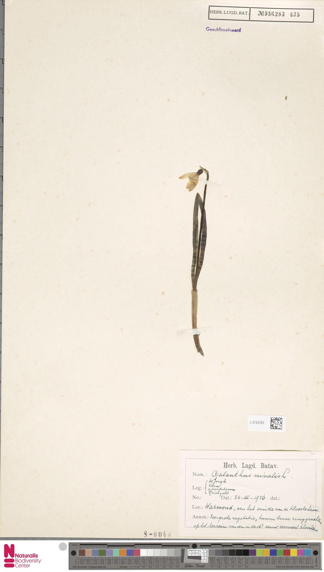 L.3153762 | Galanthus nivalis L.