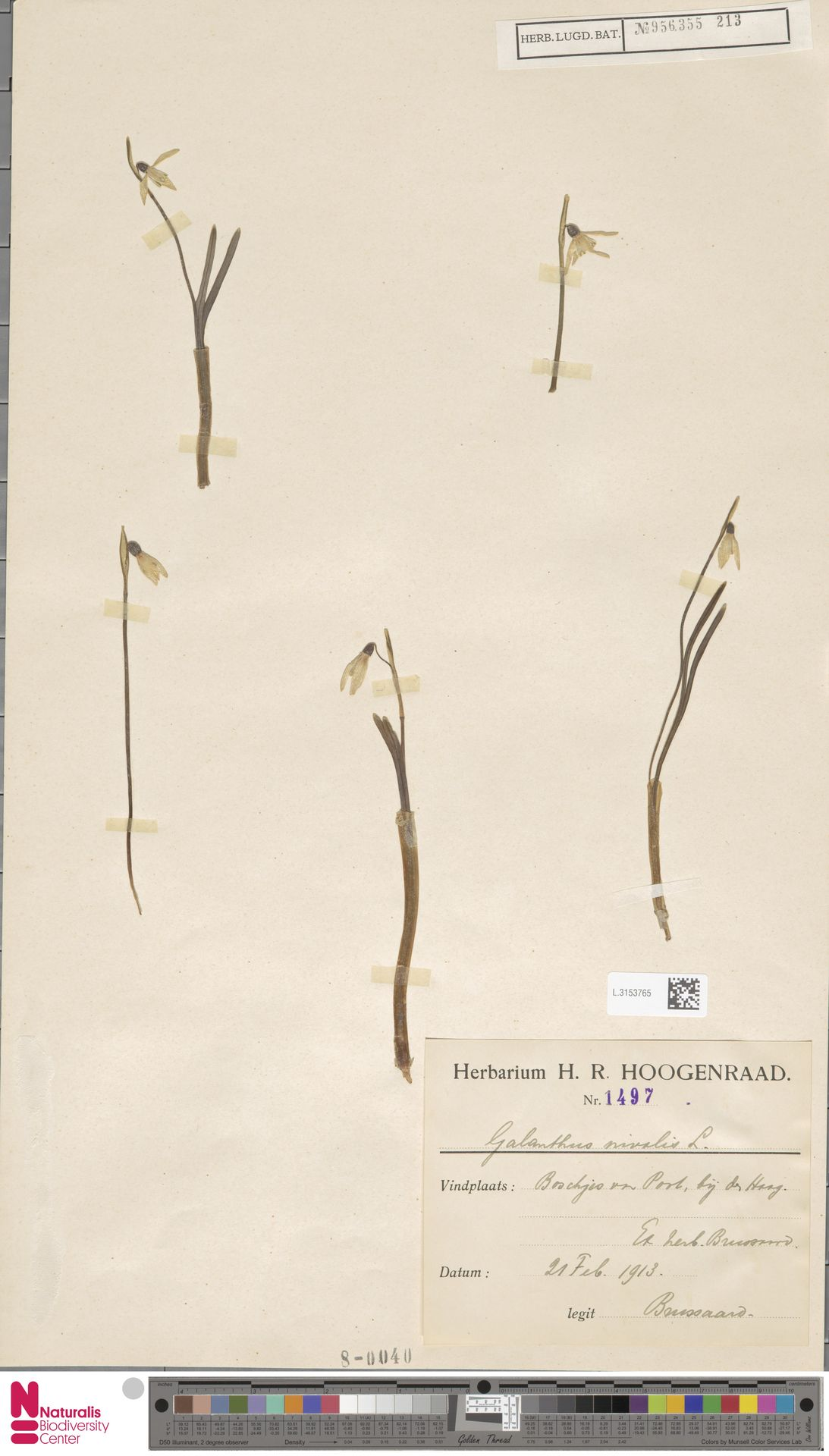 L.3153765 | Galanthus nivalis L.