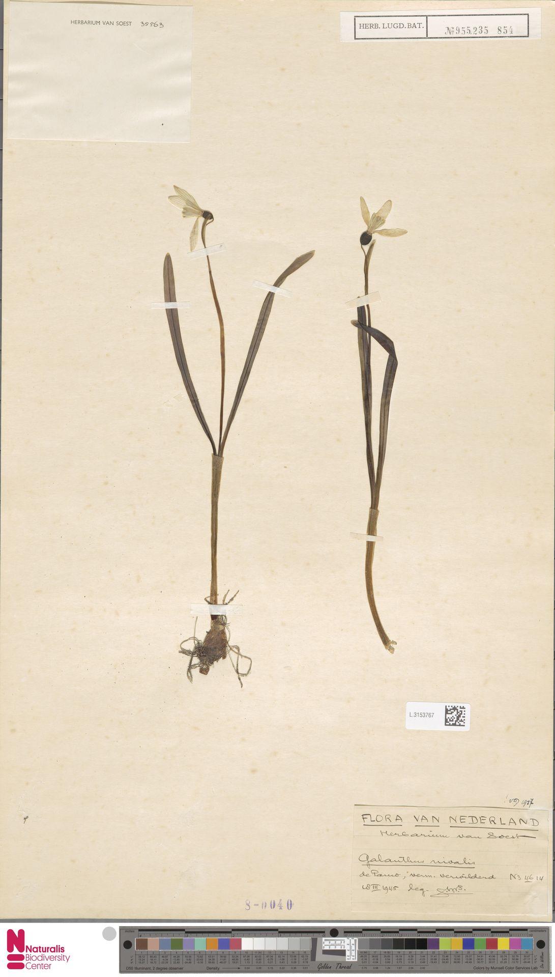 L.3153767 | Galanthus nivalis L.