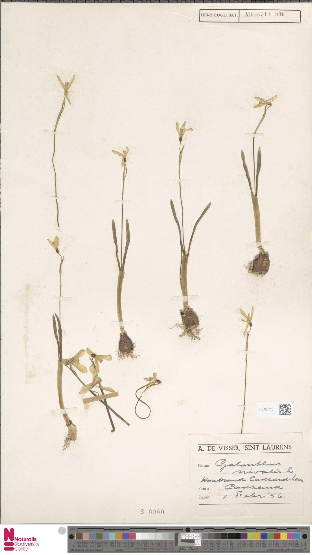 L.3153770 | Galanthus nivalis L.