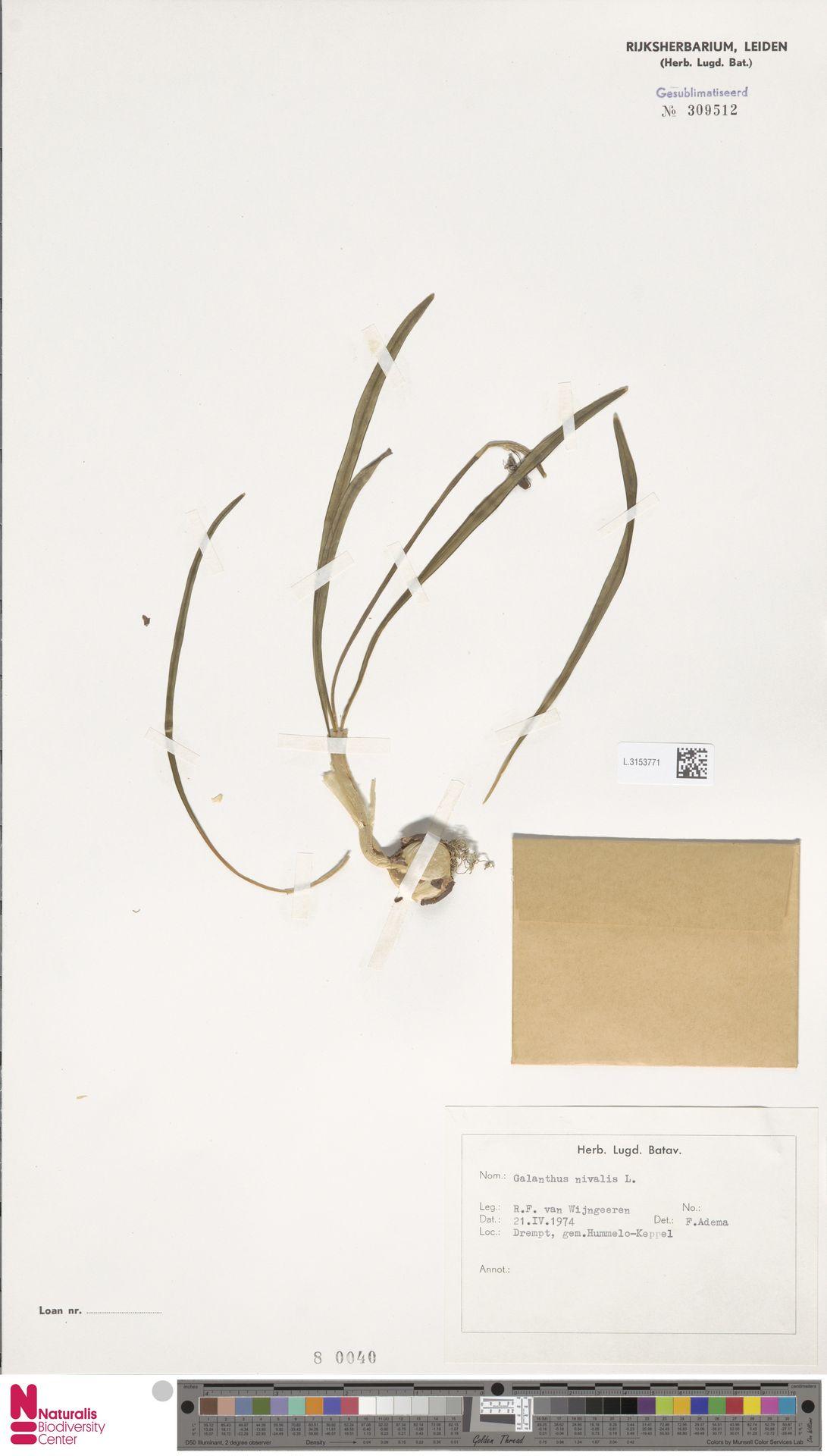 L.3153771 | Galanthus nivalis L.