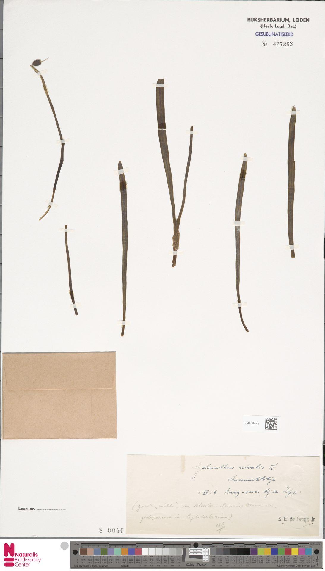 L.3153775 | Galanthus nivalis L.