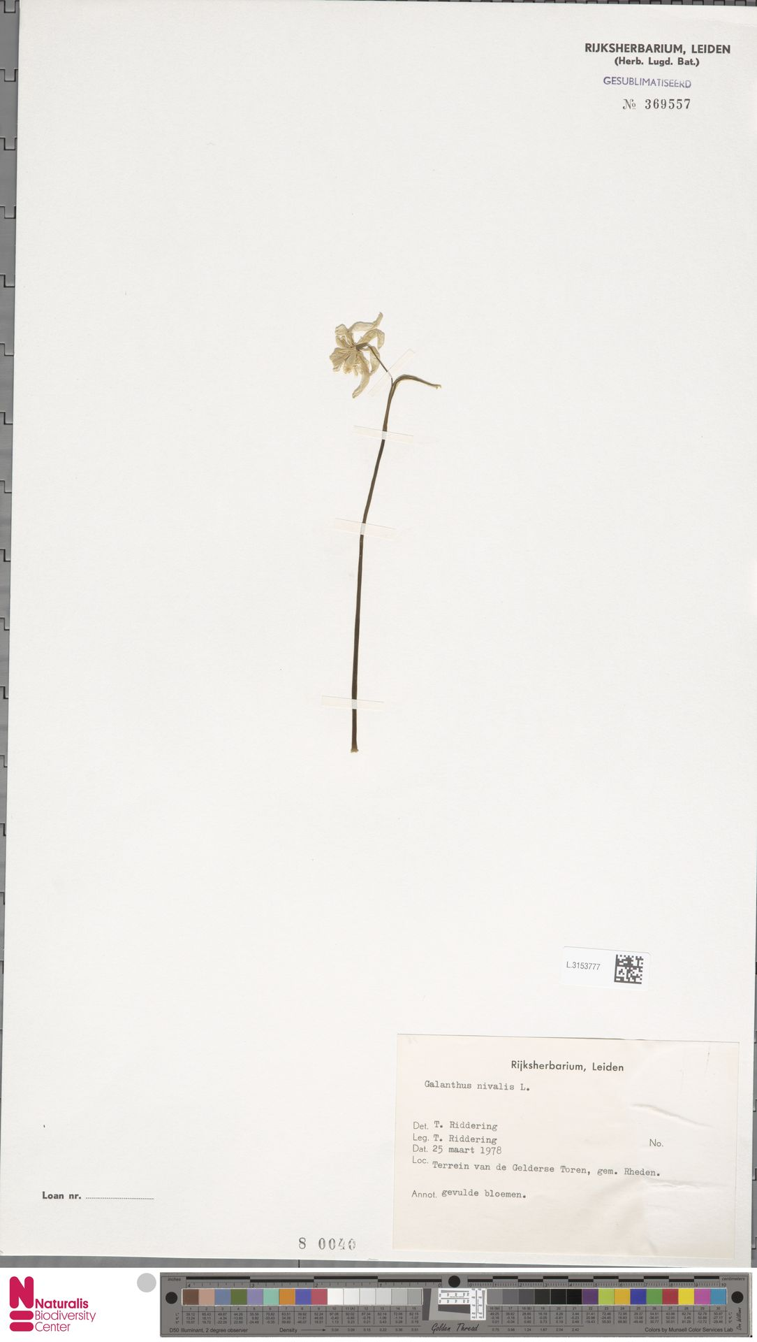 L.3153777   Galanthus nivalis L.