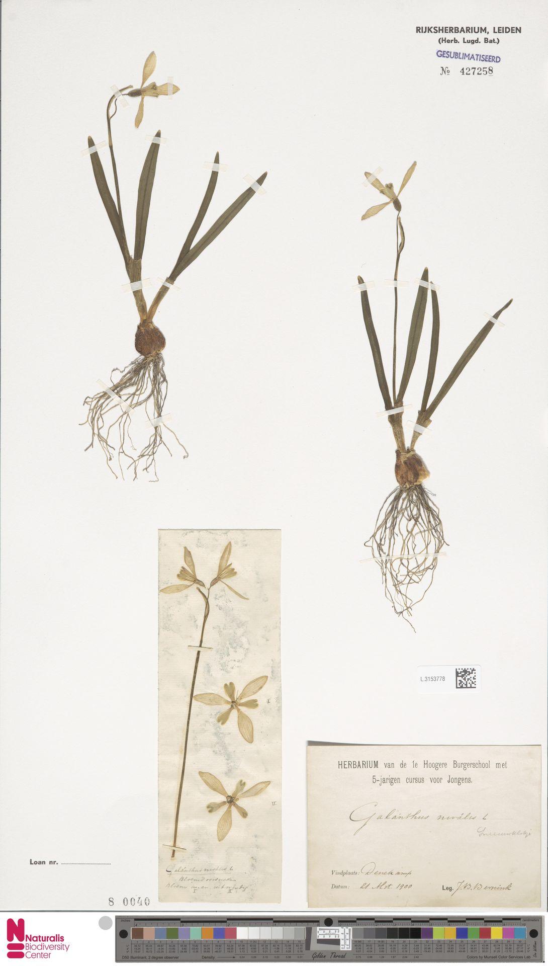 L.3153778 | Galanthus nivalis L.