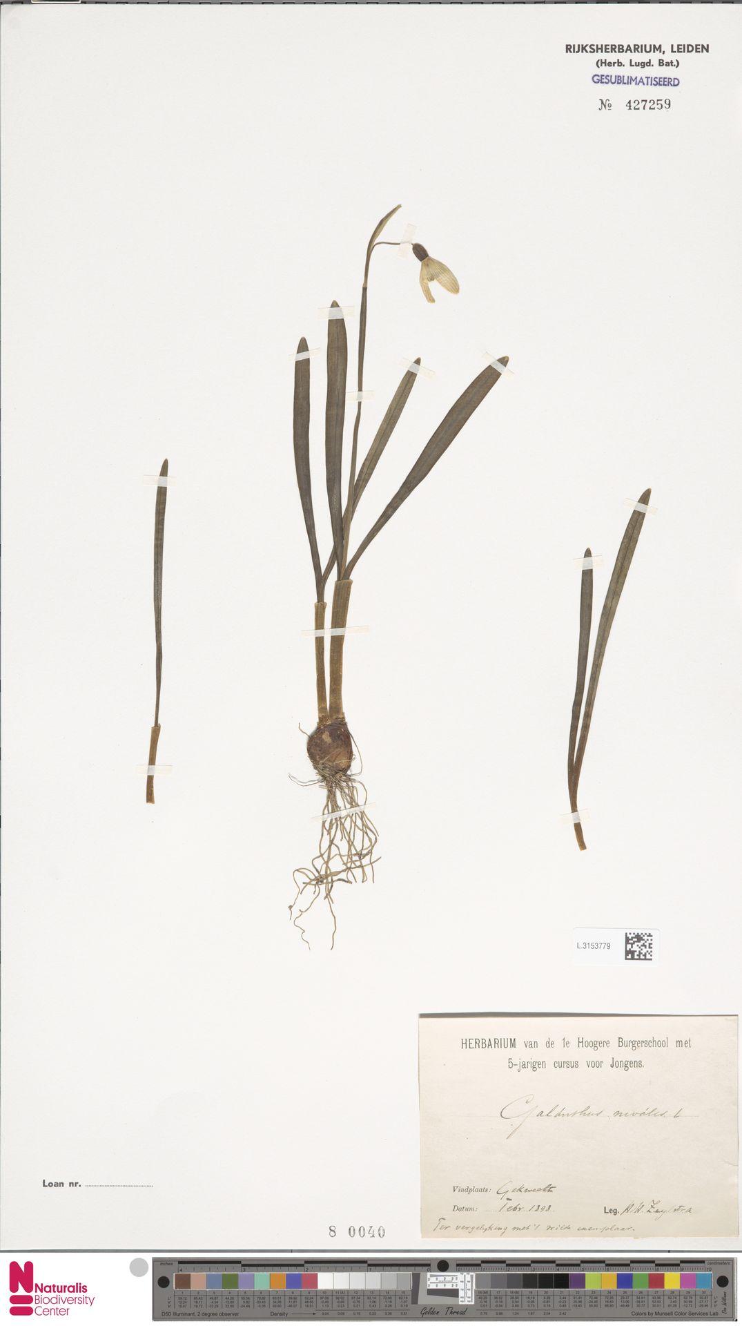 L.3153779   Galanthus nivalis L.