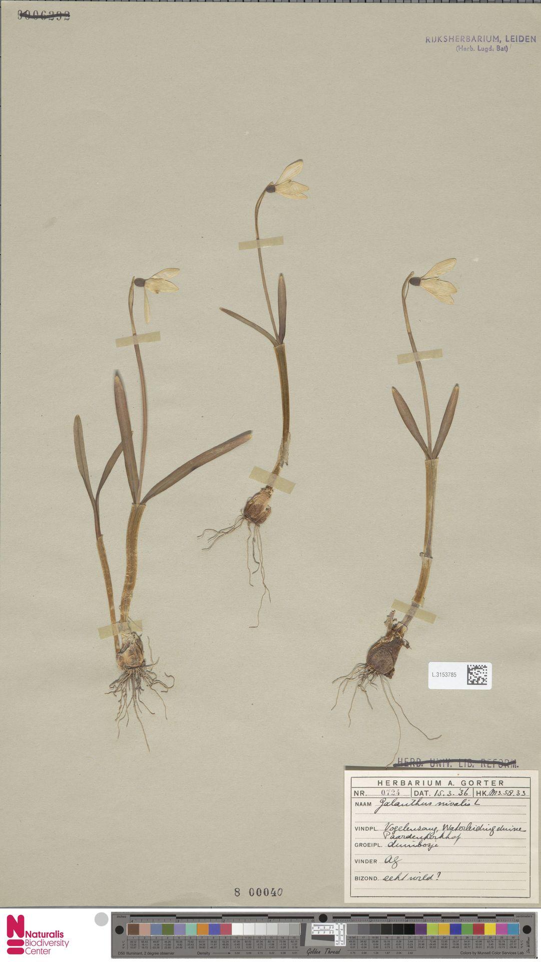 L.3153785 | Galanthus nivalis L.