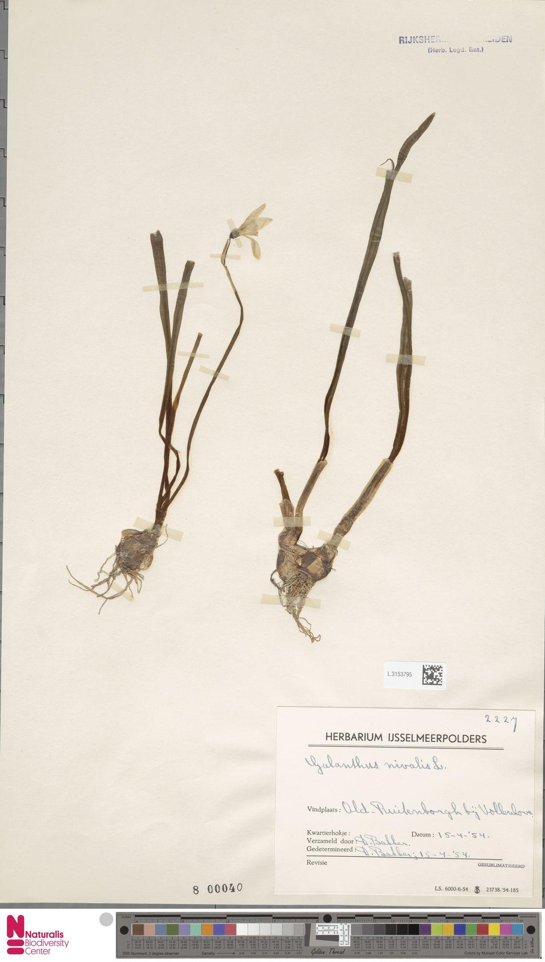 L.3153795 | Galanthus nivalis L.