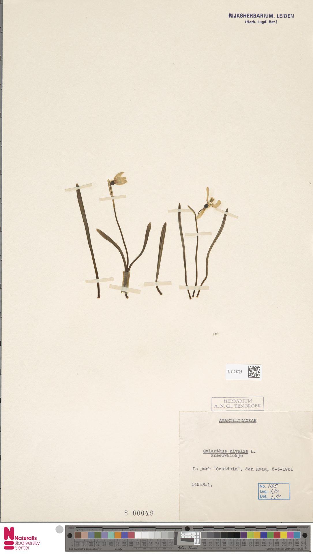 L.3153796 | Galanthus nivalis L.