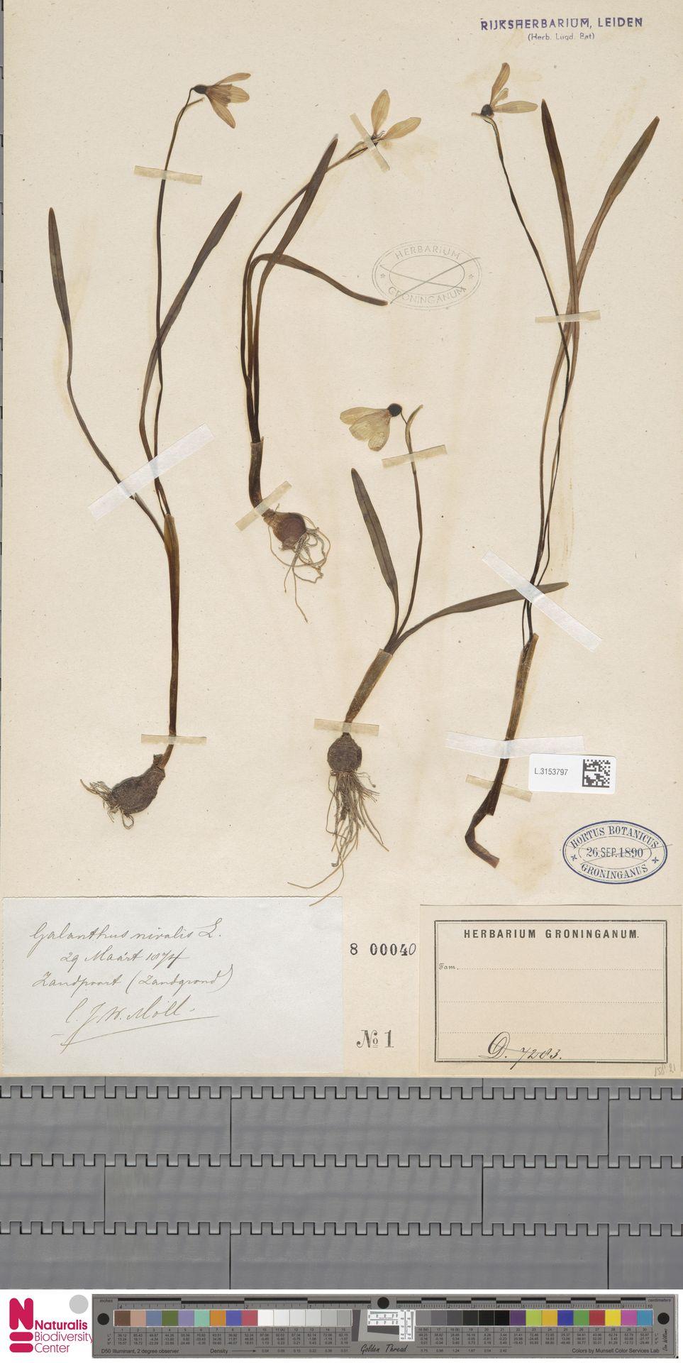 L.3153797 | Galanthus nivalis L.