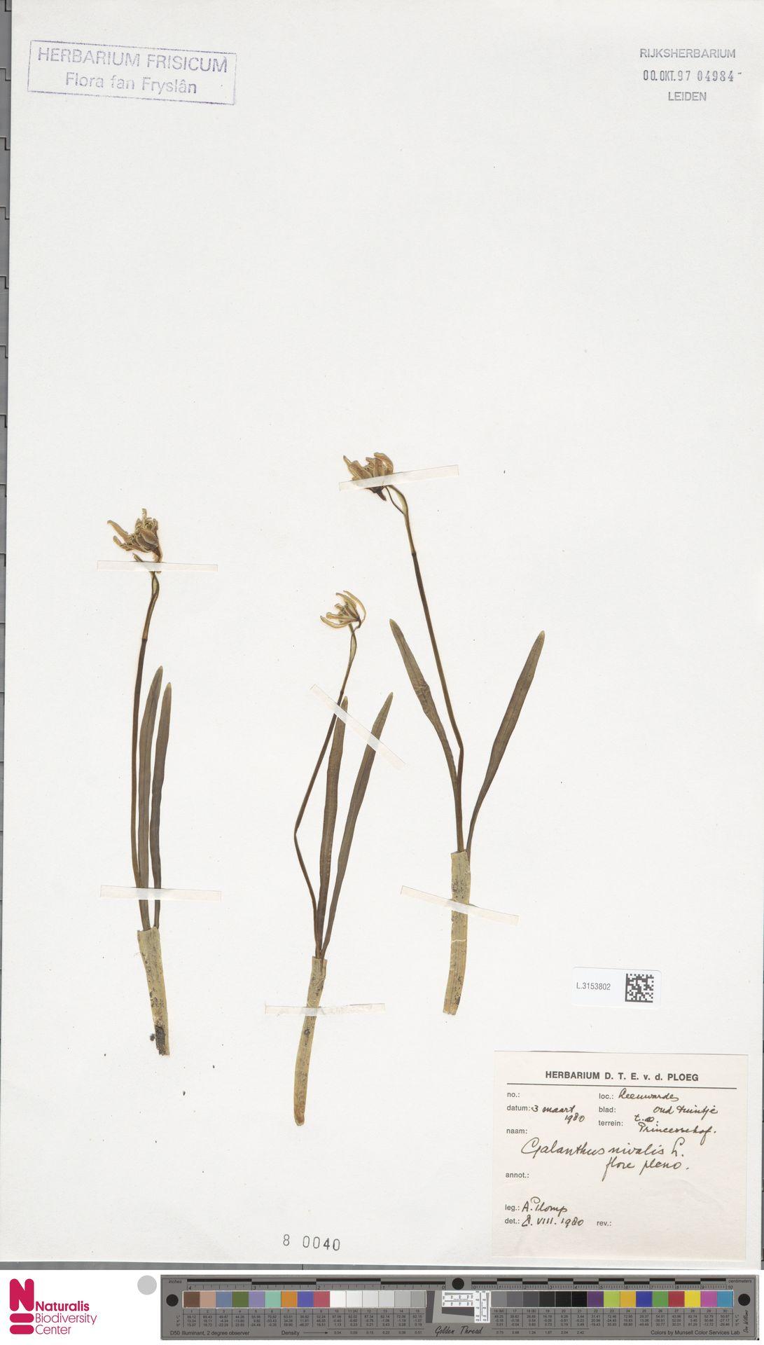 L.3153802 | Galanthus nivalis L.