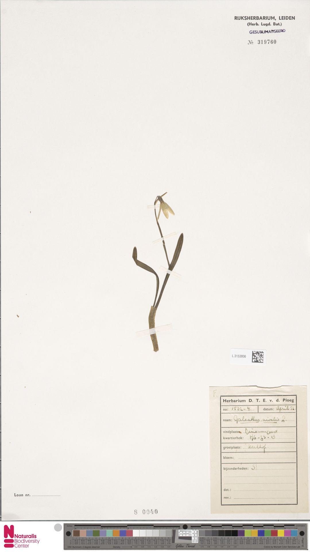 L.3153806 | Galanthus nivalis L.