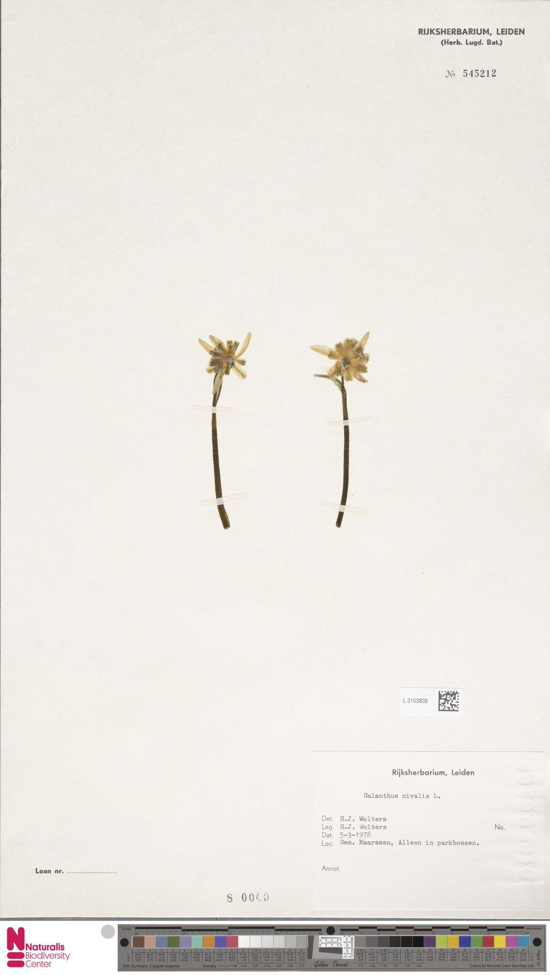L.3153808 | Galanthus nivalis L.