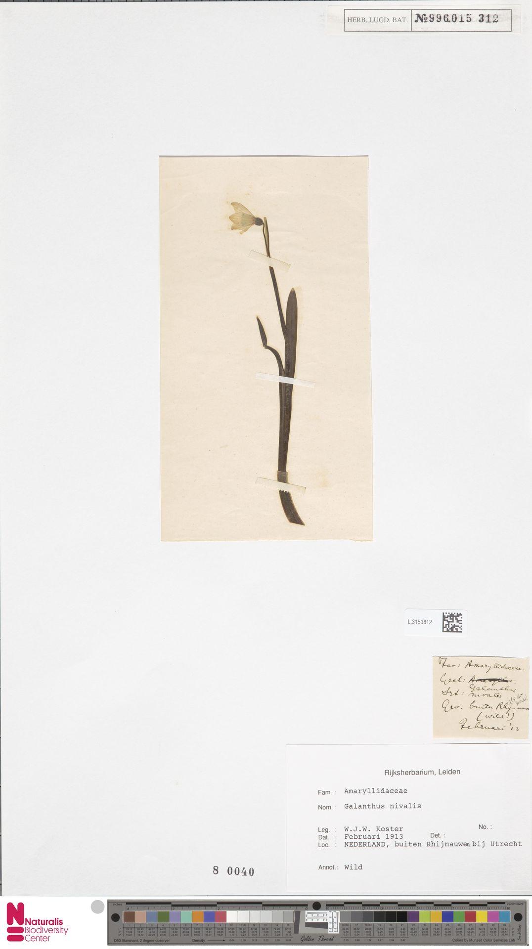 L.3153812 | Galanthus nivalis L.
