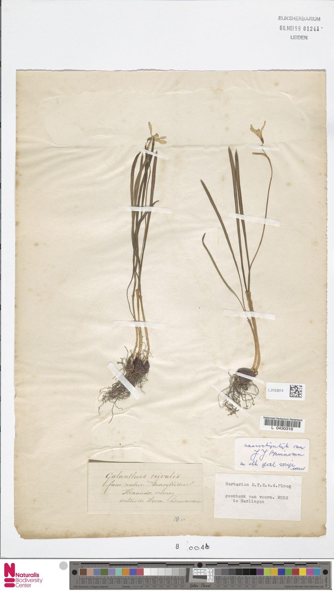 L.3153814 | Galanthus nivalis L.