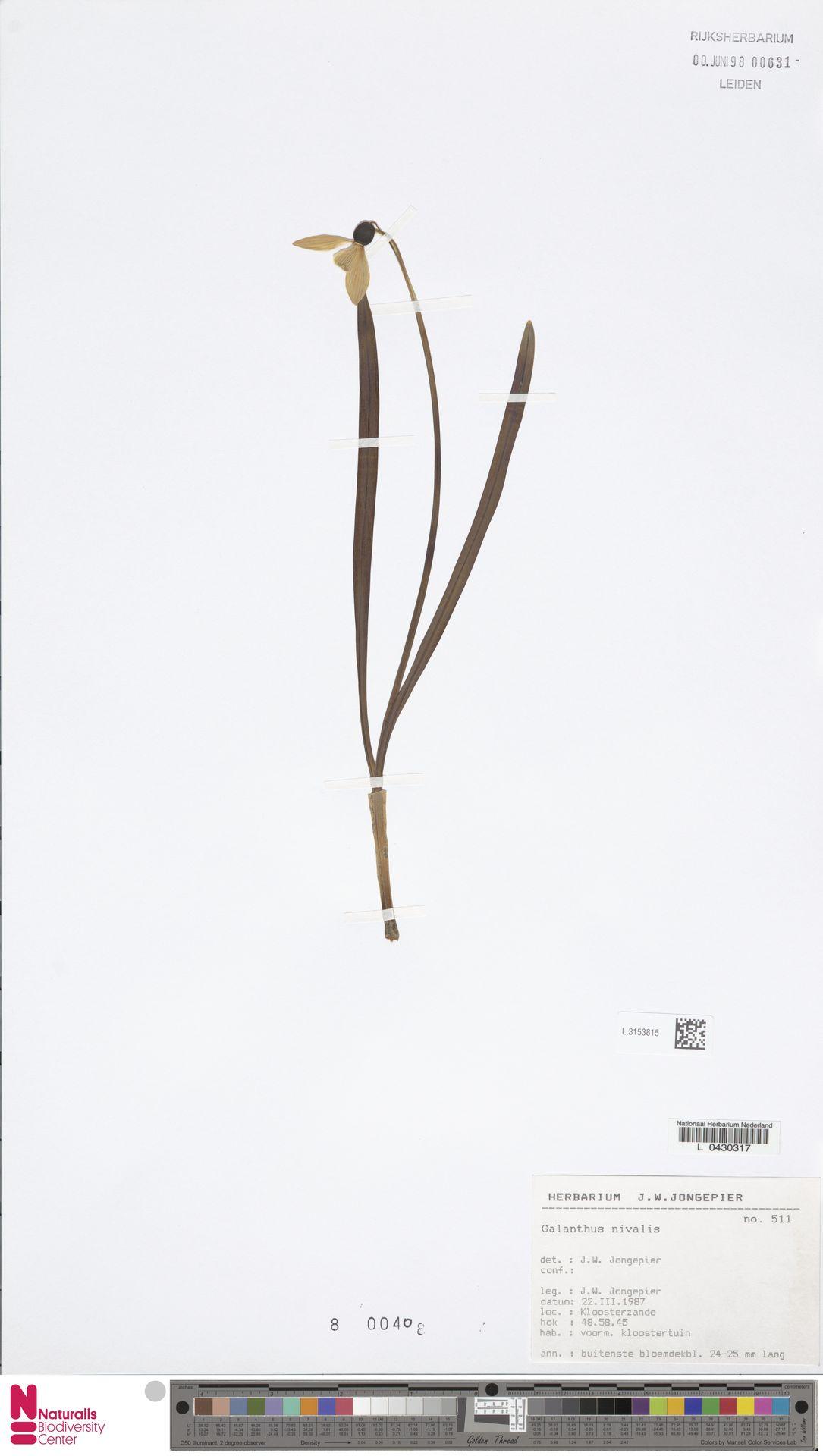 L.3153815 | Galanthus nivalis L.