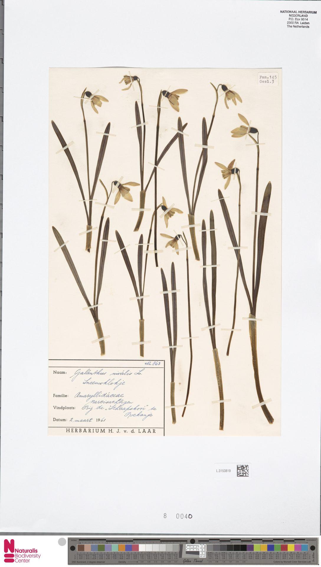 L.3153819 | Galanthus nivalis L.