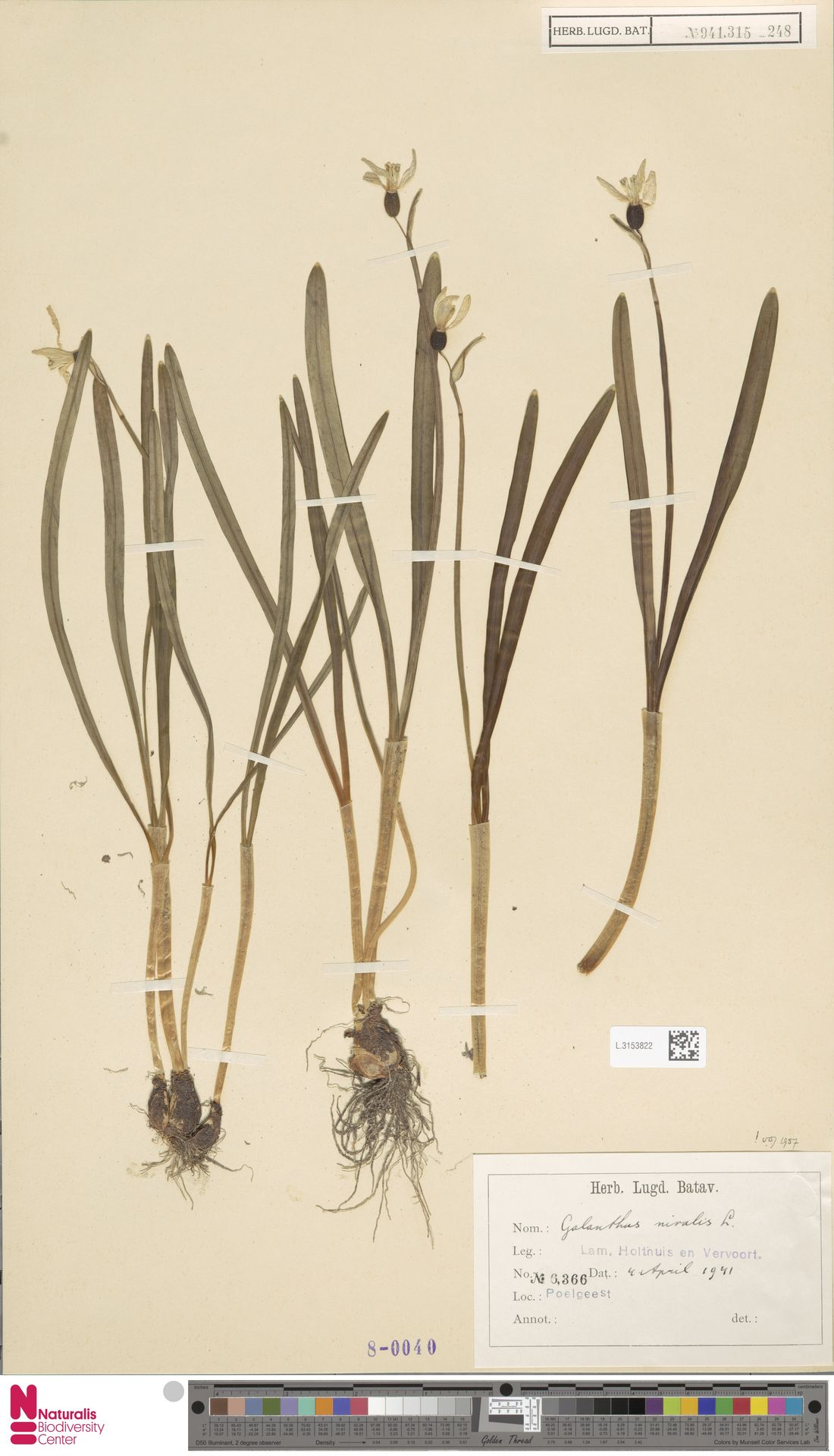 L.3153822 | Galanthus nivalis L.