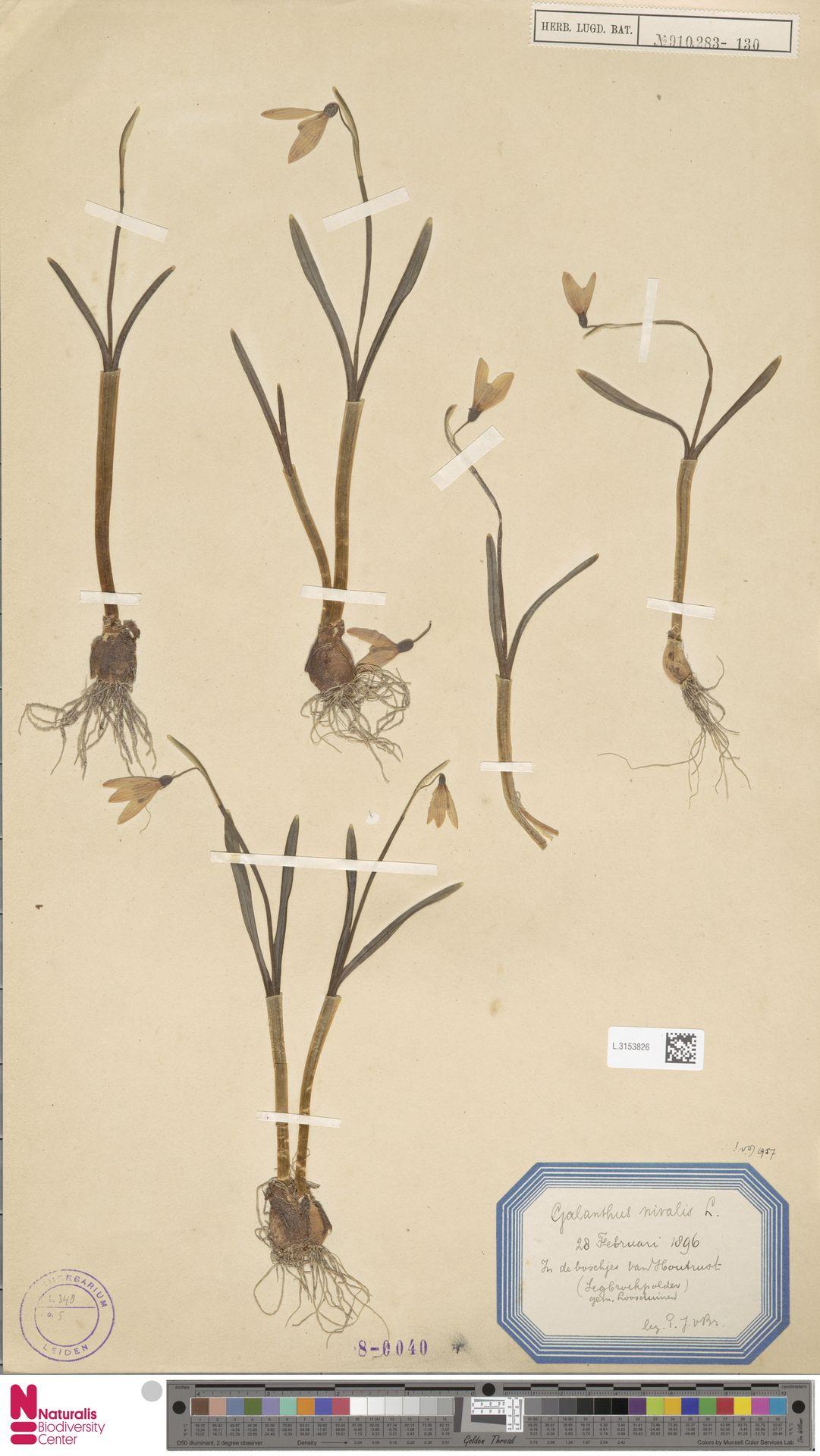 L.3153826   Galanthus nivalis L.