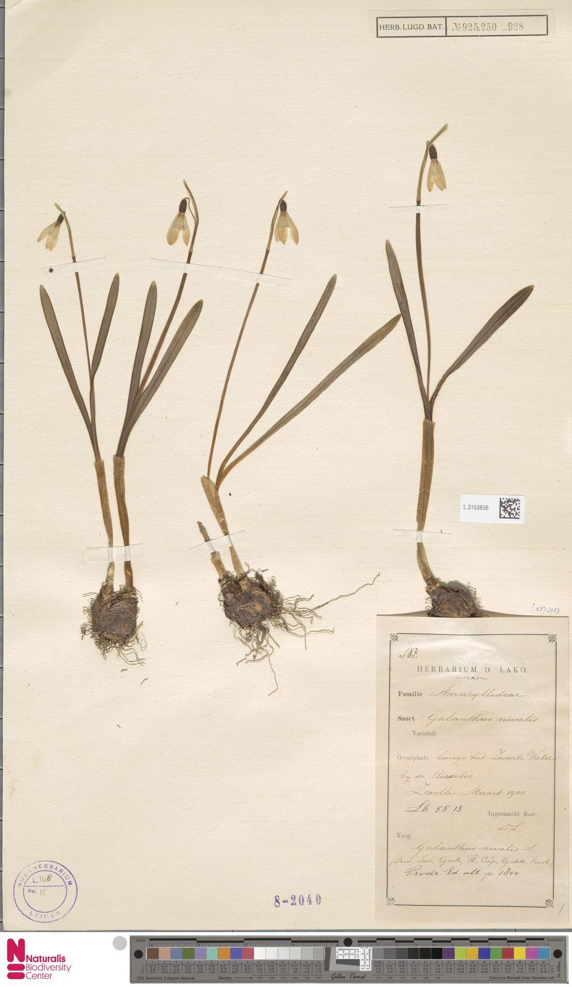 L.3153836 | Galanthus nivalis L.