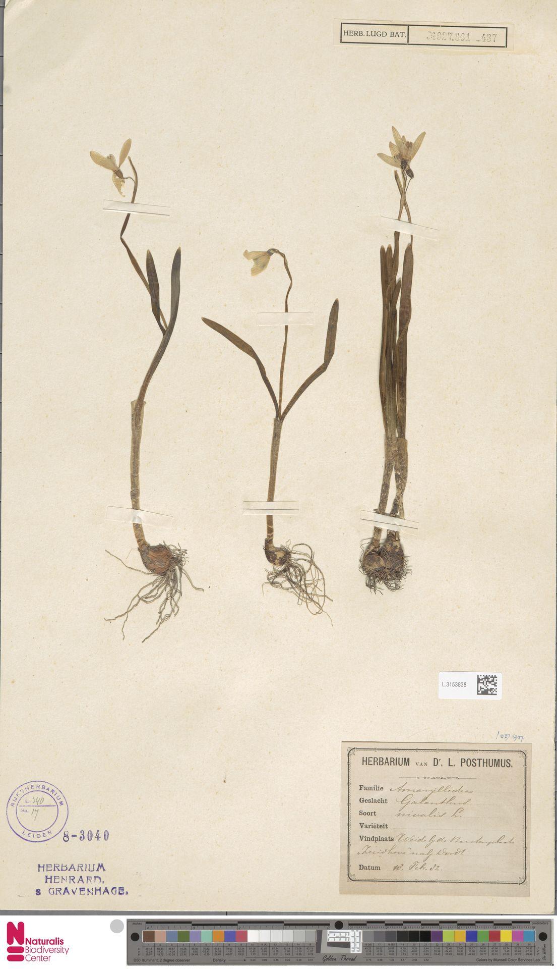 L.3153838   Galanthus nivalis L.