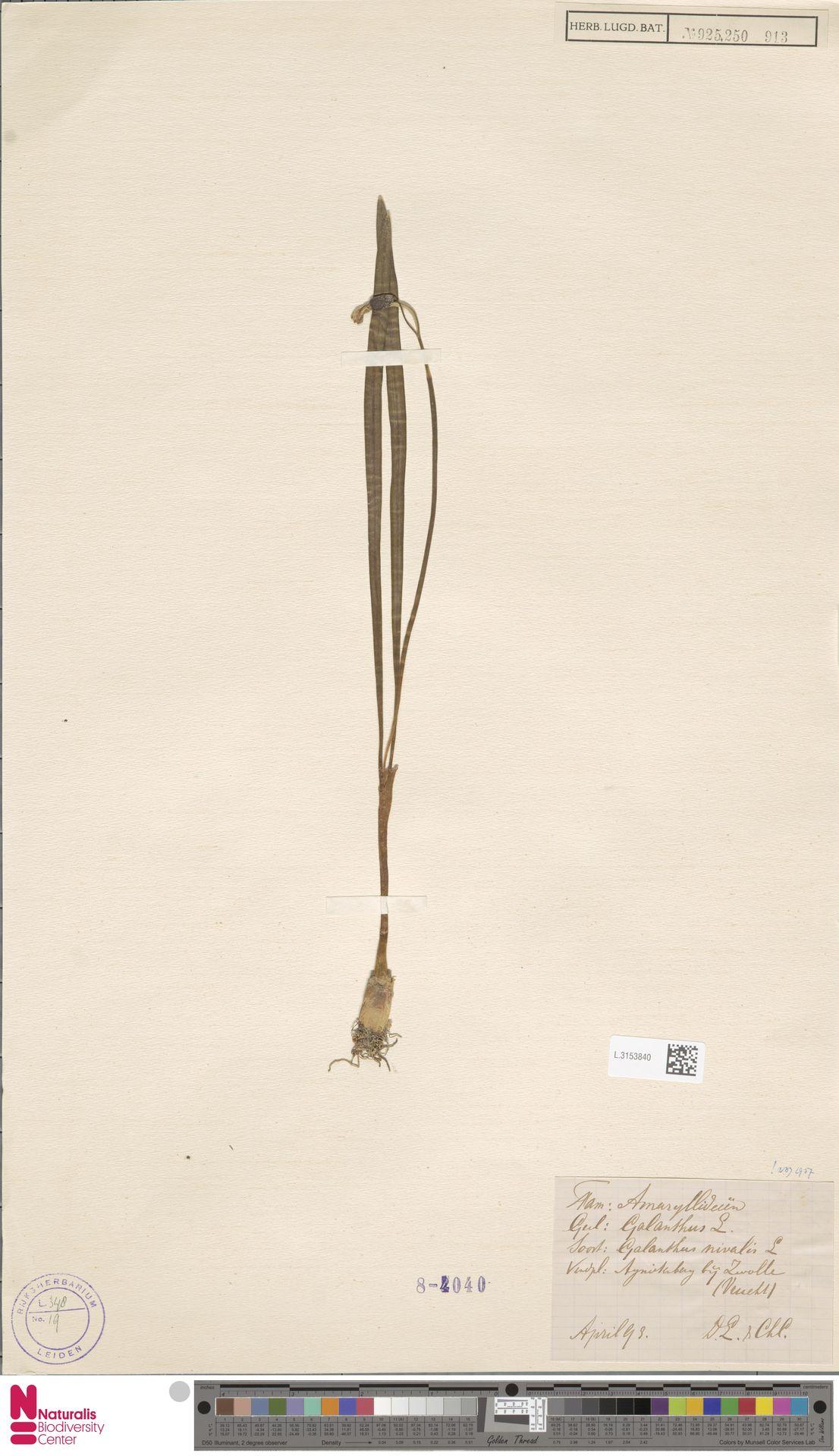 L.3153840   Galanthus nivalis L.